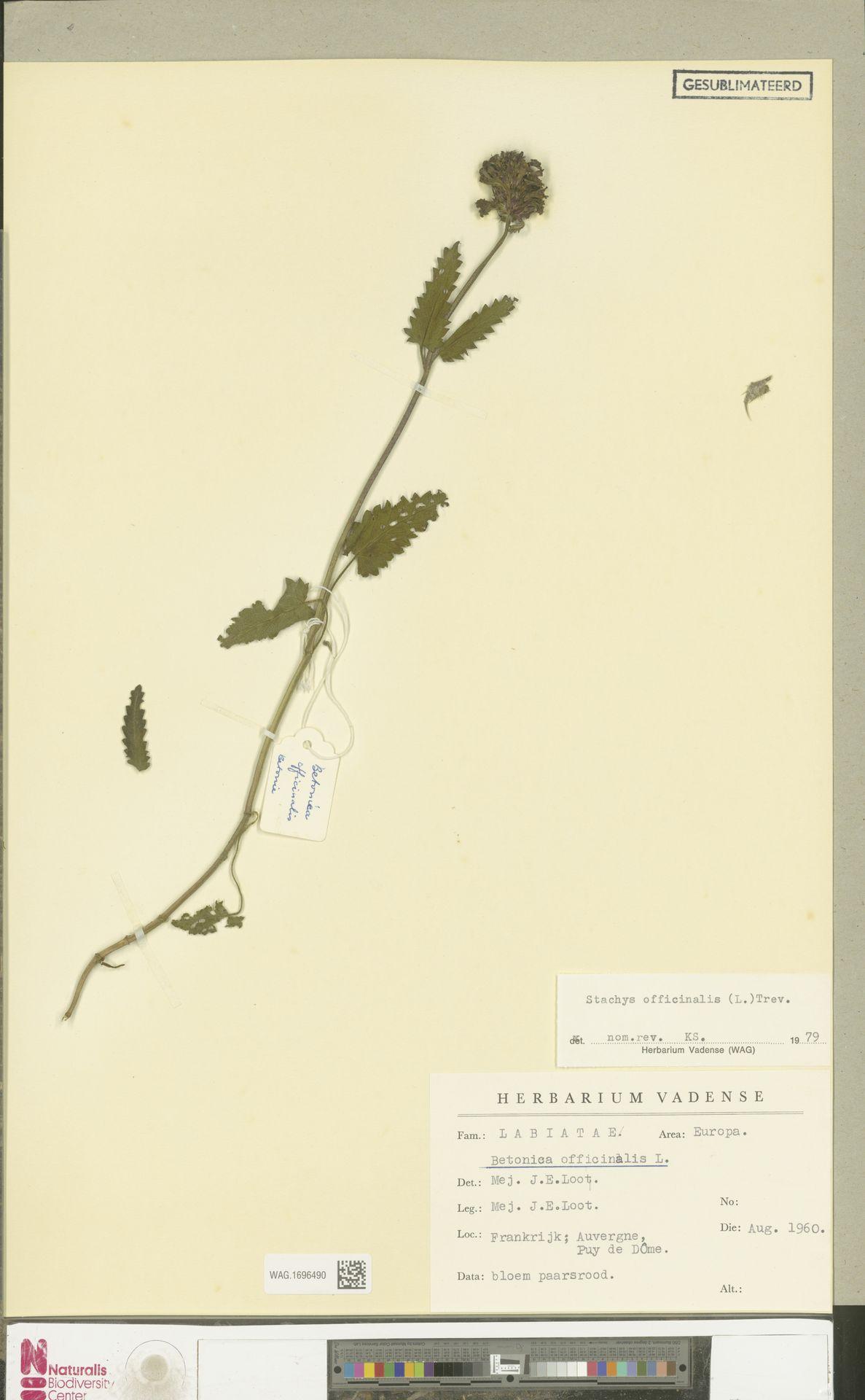 WAG.1696490   Stachys officinalis (L.) Trevis.