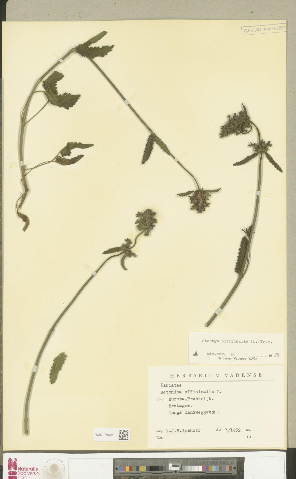 WAG.1696491 | Stachys officinalis (L.) Trevis.