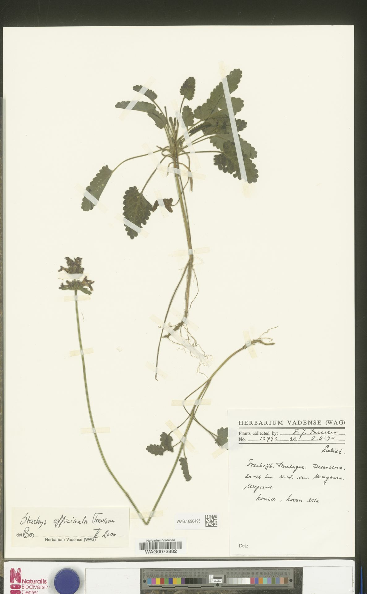WAG.1696495 | Stachys officinalis (L.) Trevis.