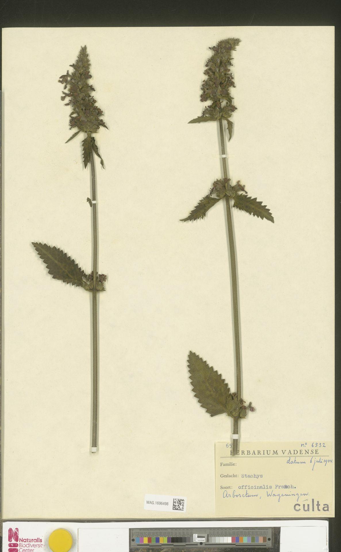 WAG.1696498   Stachys officinalis (L.) Trevis.