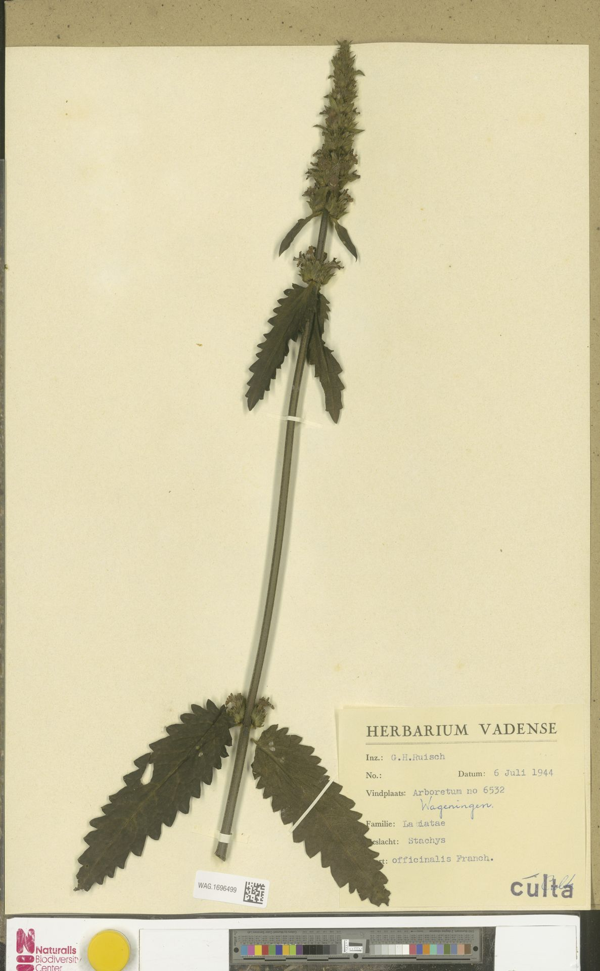 WAG.1696499 | Stachys officinalis (L.) Trevis.