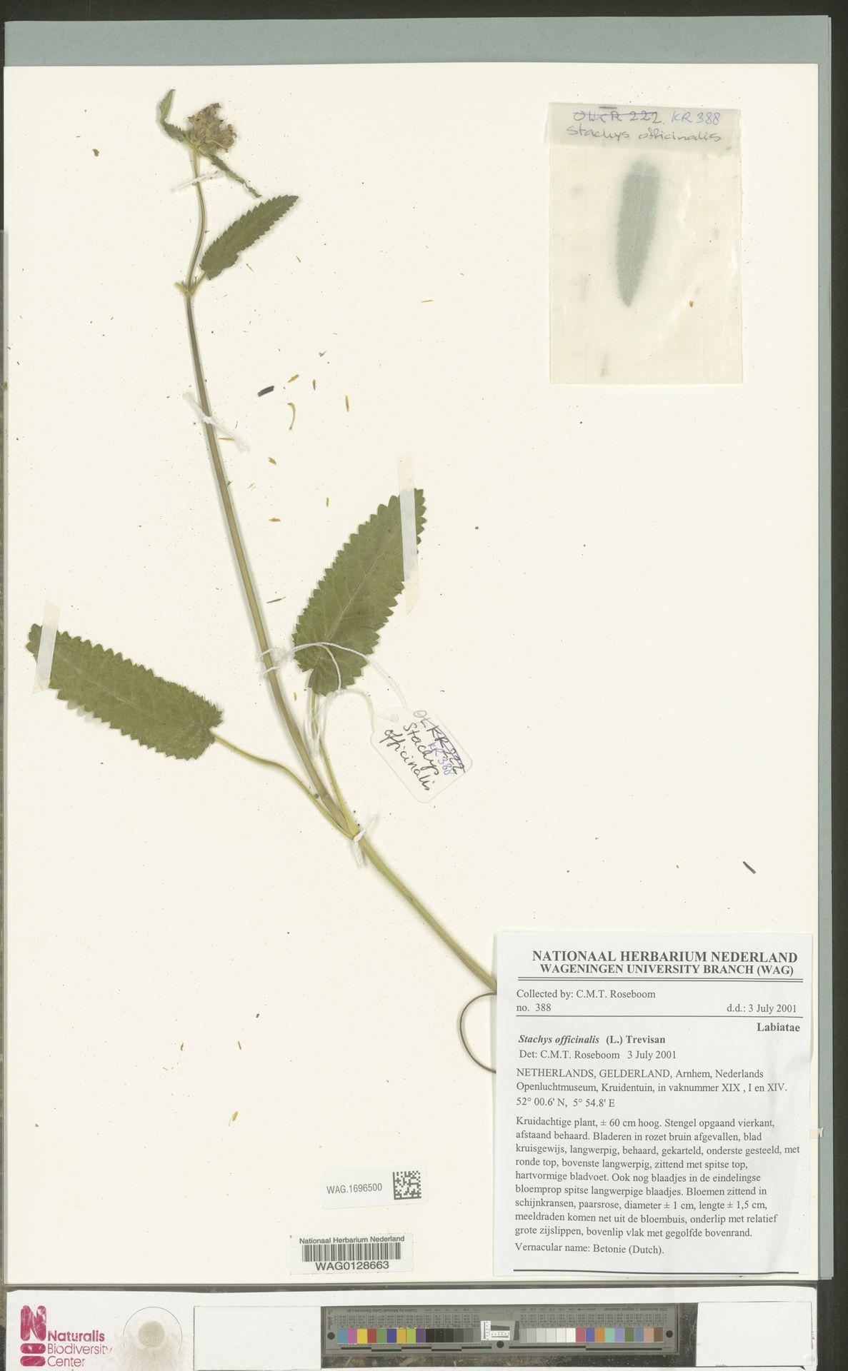 WAG.1696500 | Stachys officinalis (L.) Trevis.