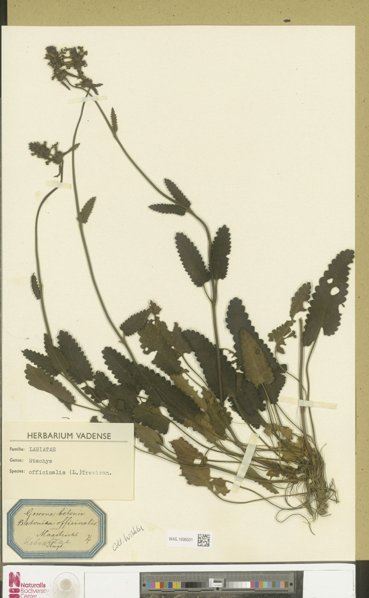 WAG.1696501 | Stachys officinalis (L.) Trevis.