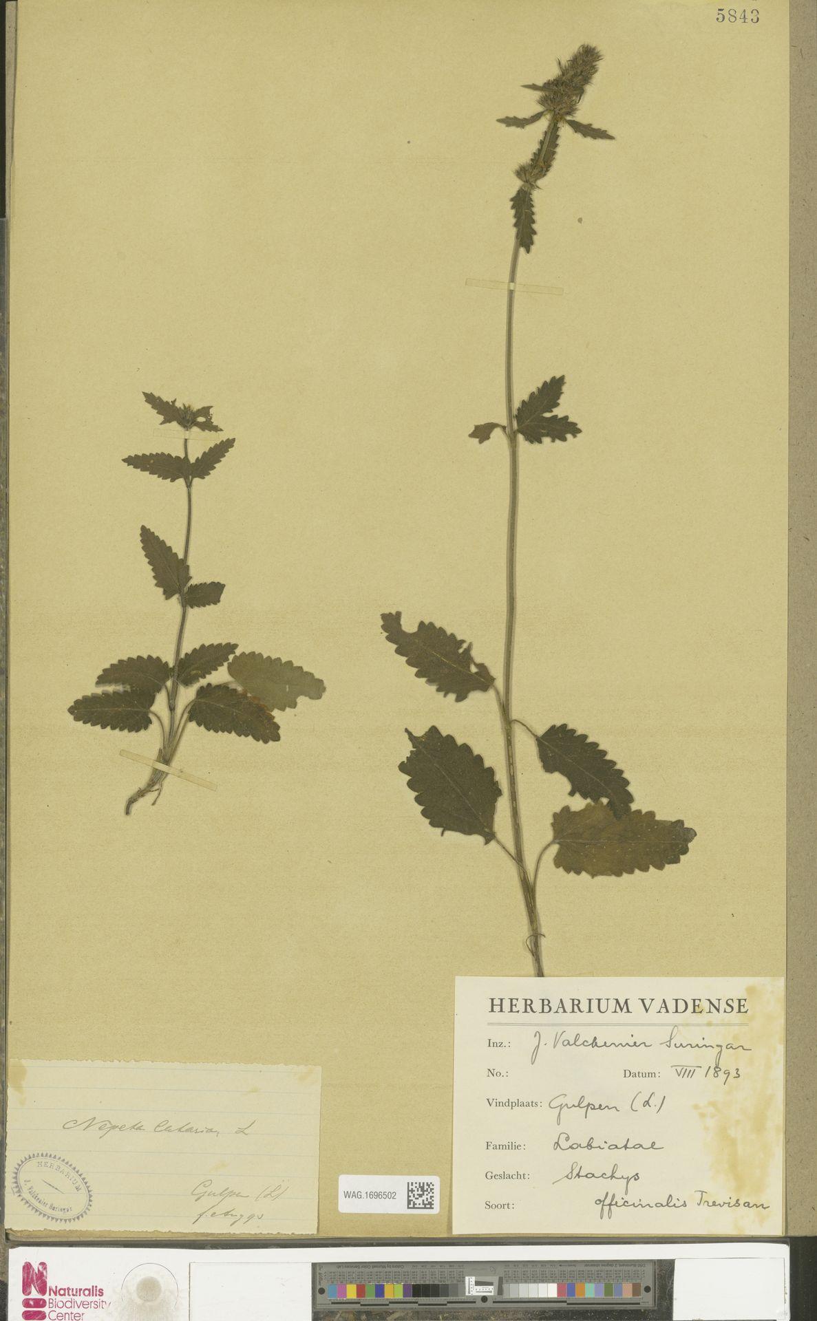 WAG.1696502   Stachys officinalis (L.) Trevis.