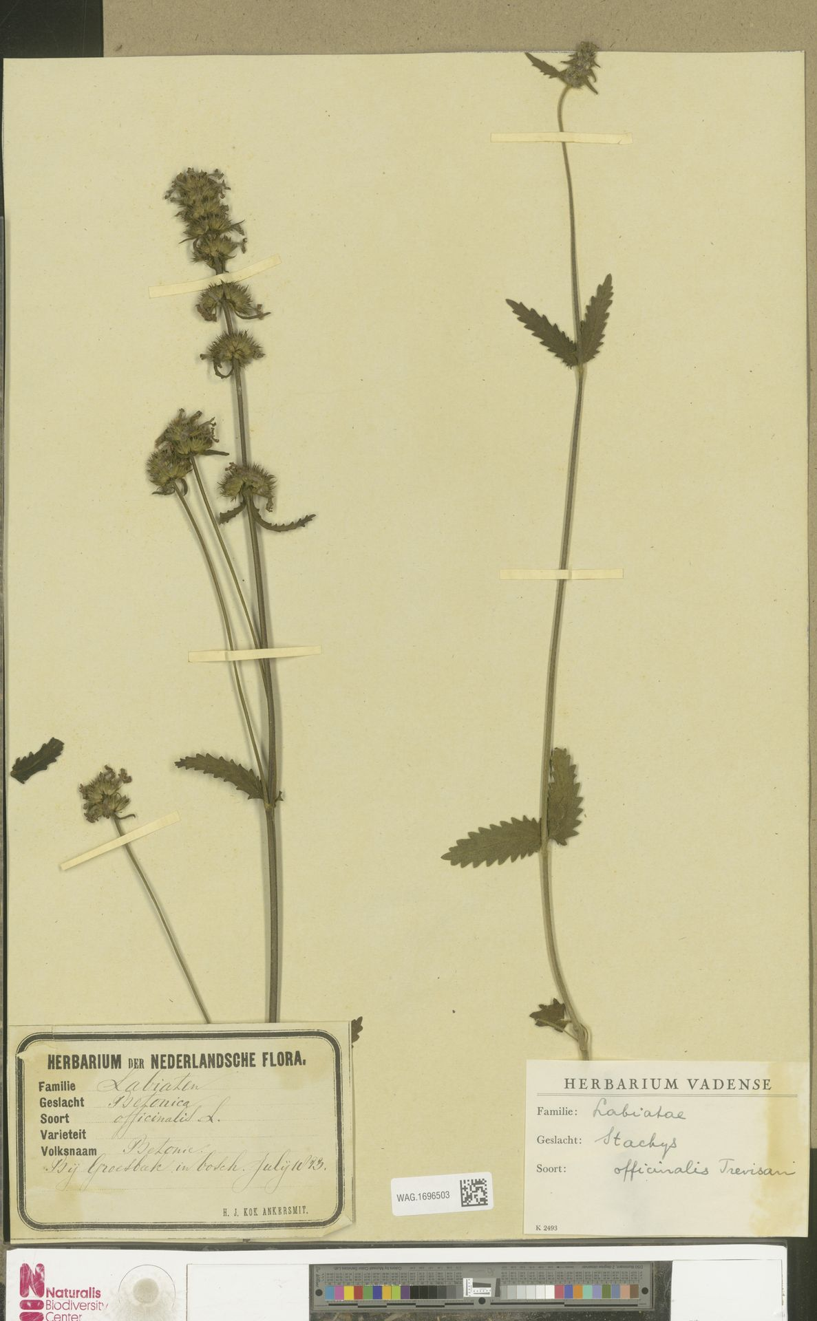 WAG.1696503   Stachys officinalis (L.) Trevis.