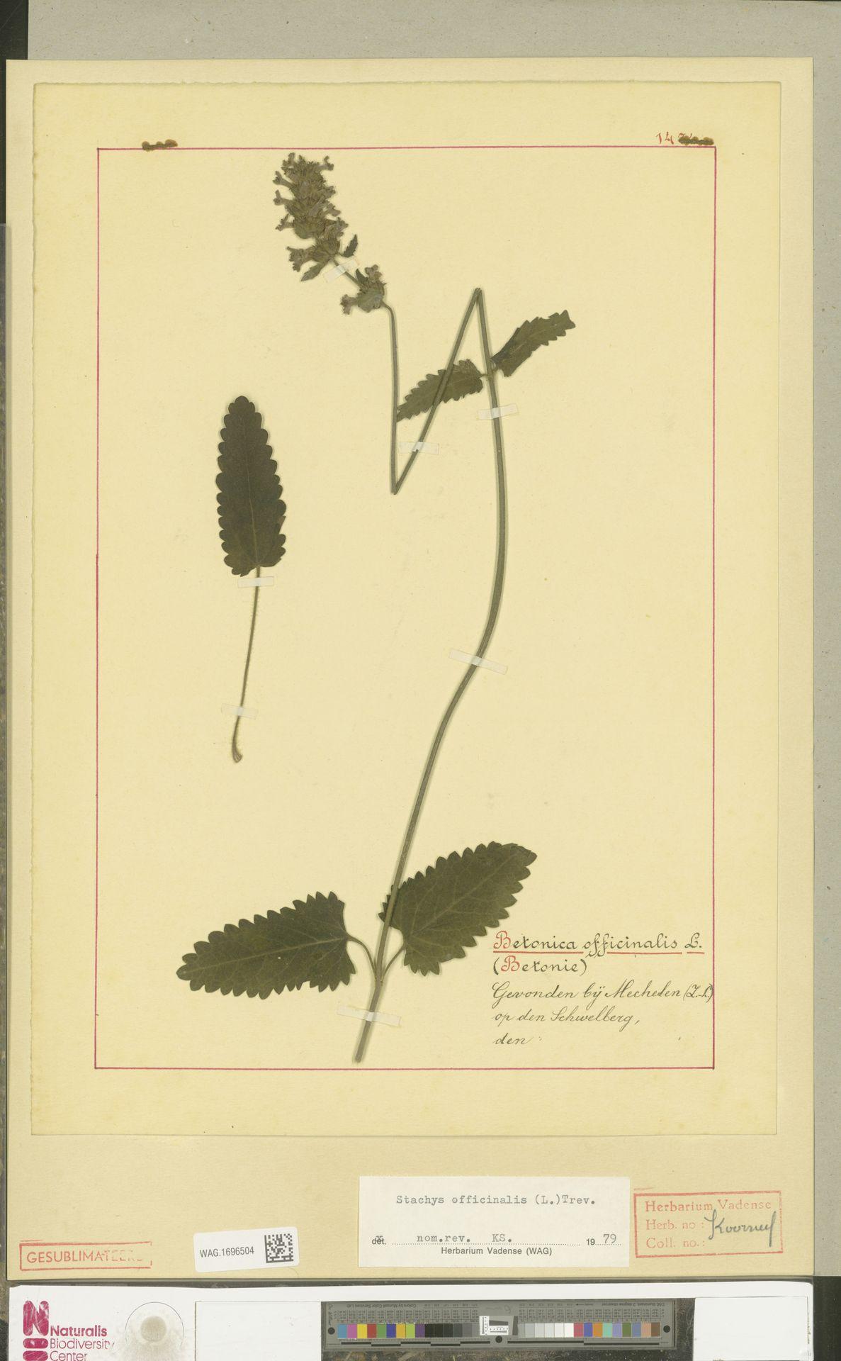 WAG.1696504 | Stachys officinalis (L.) Trevis.