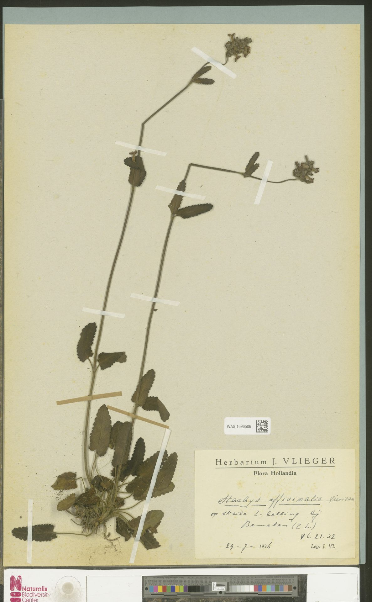 WAG.1696506 | Stachys officinalis (L.) Trevis.