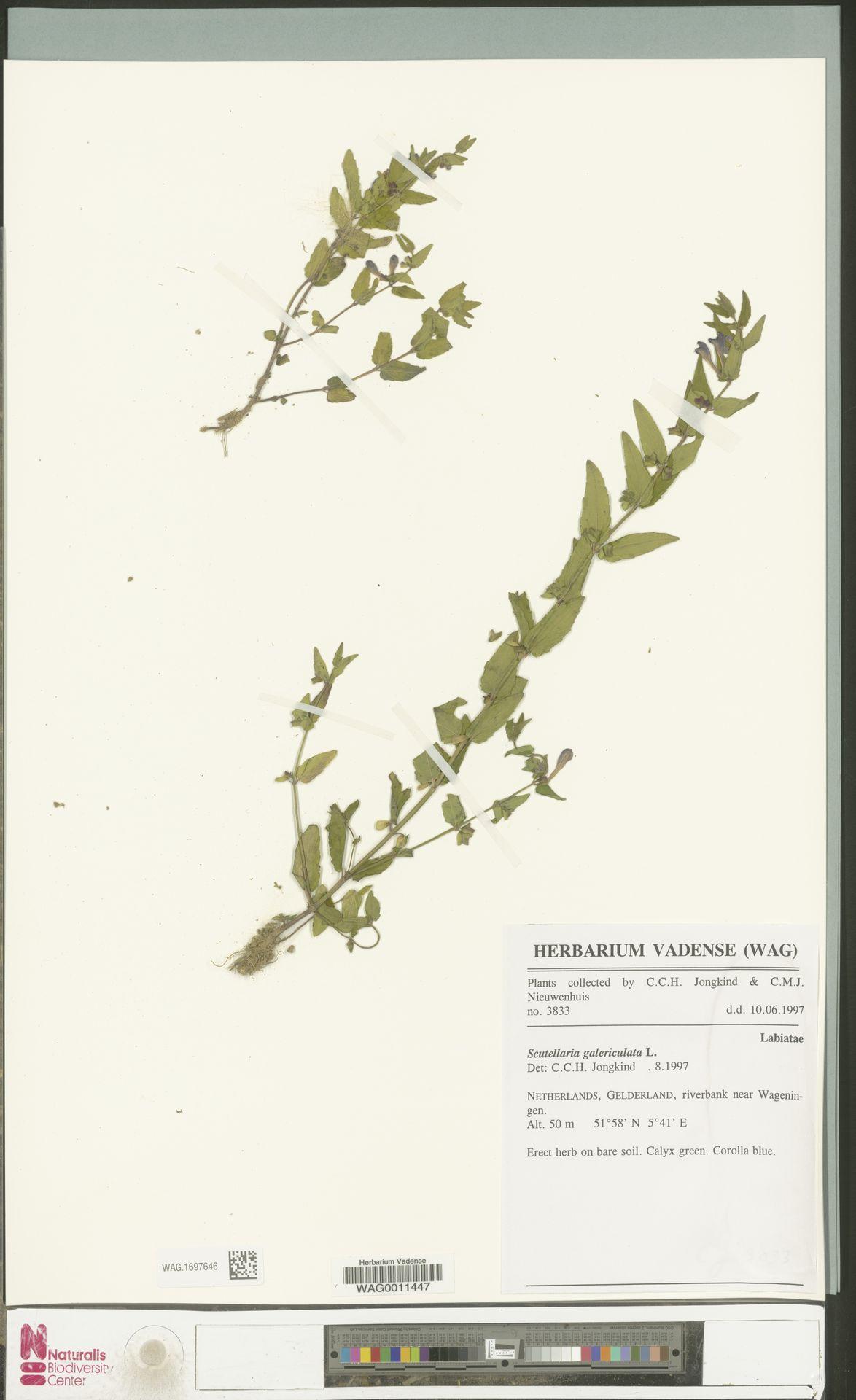WAG.1697646 | Scutellaria galericulata L.