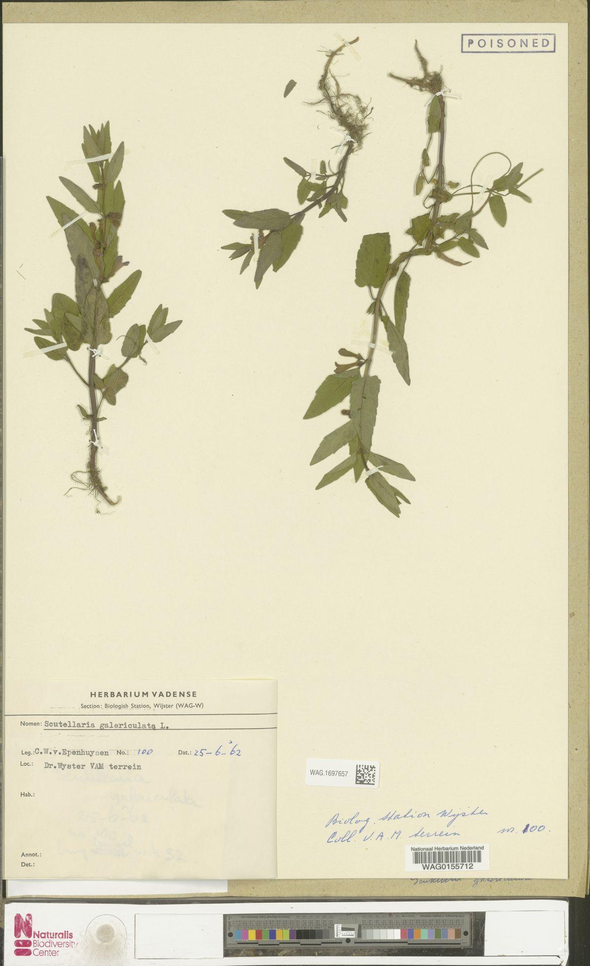 WAG.1697657   Scutellaria galericulata L.