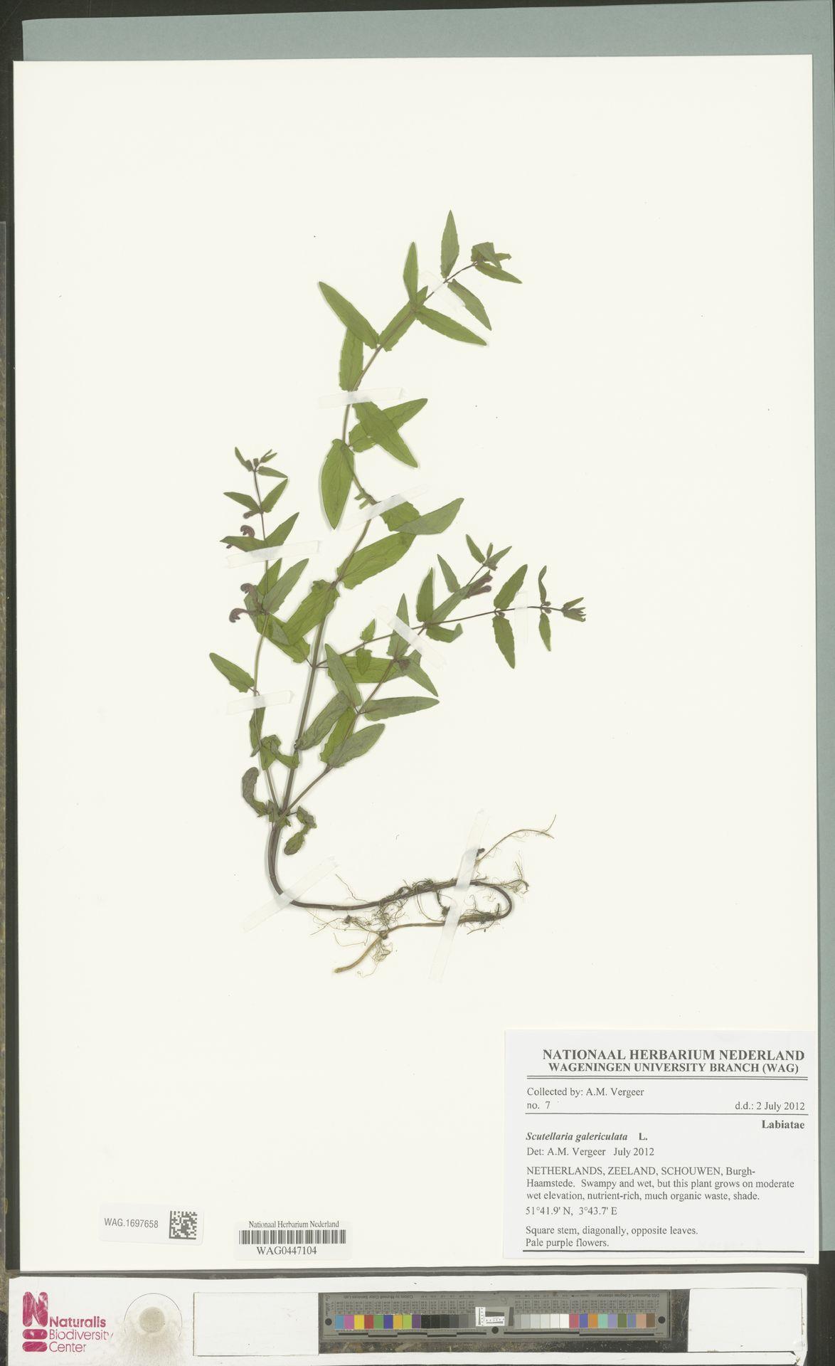 WAG.1697658 | Scutellaria galericulata L.