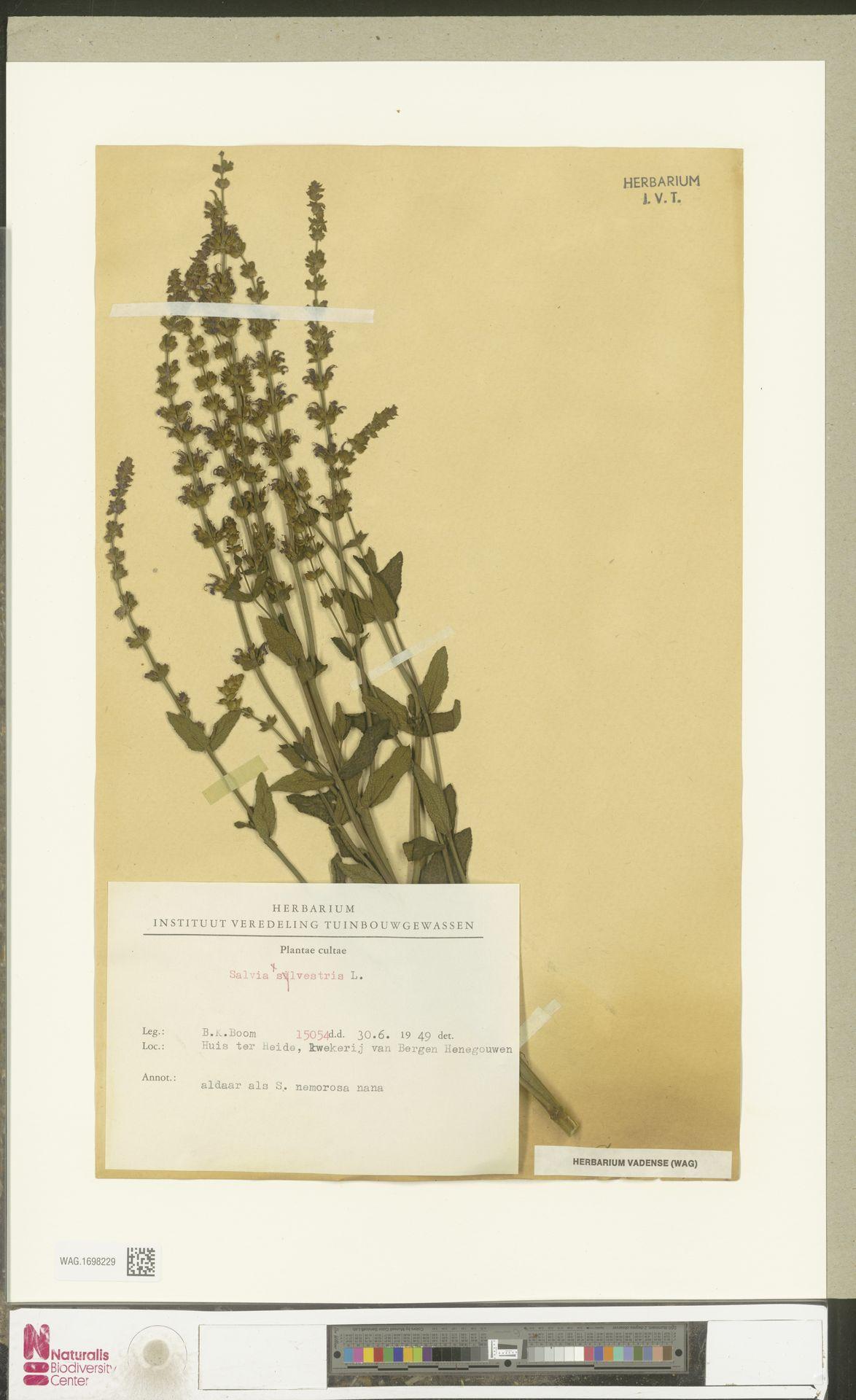 WAG.1698229 | Salvia silvestris L.