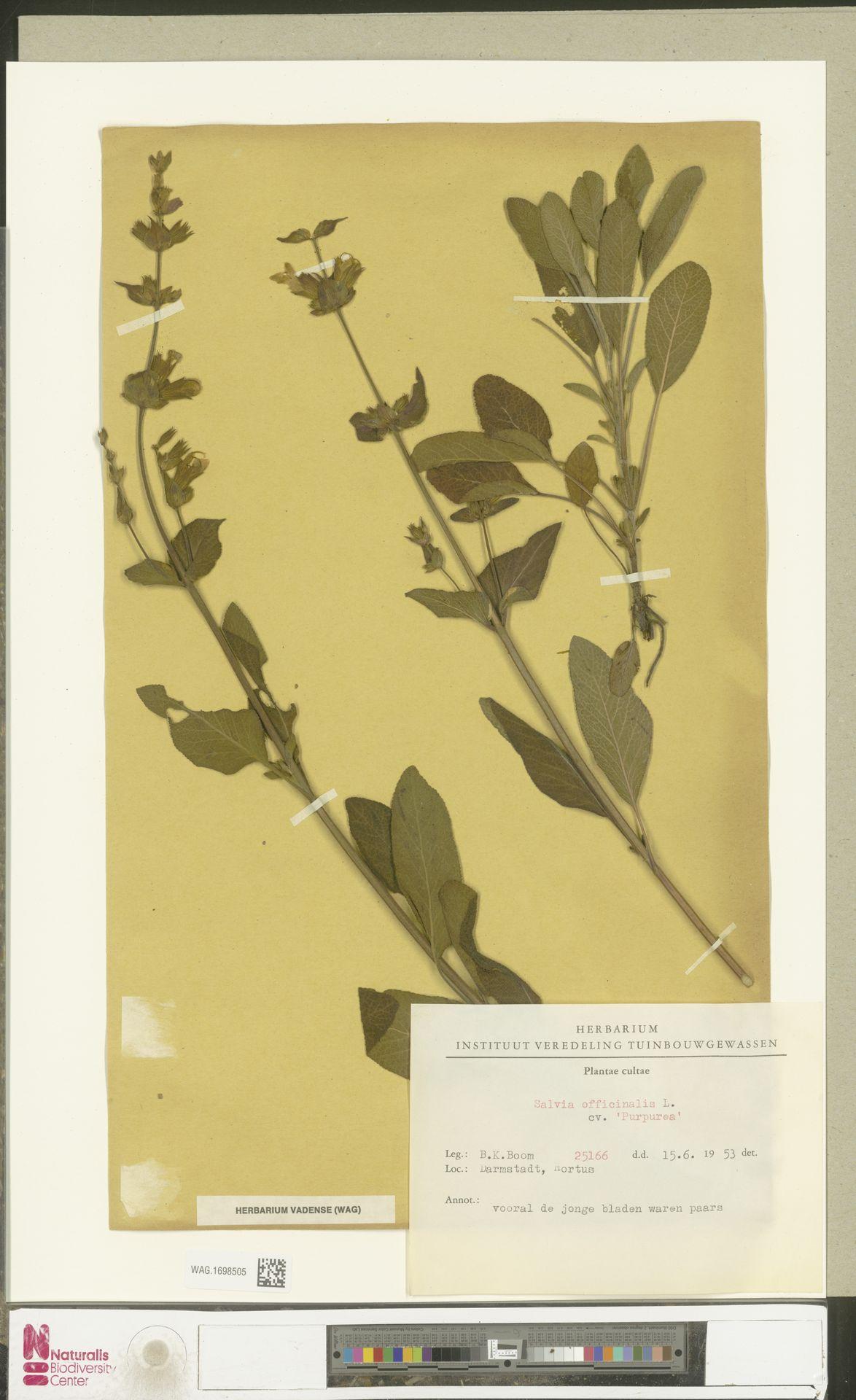 WAG.1698505 | Salvia officinalis cv. 'Purpurea'