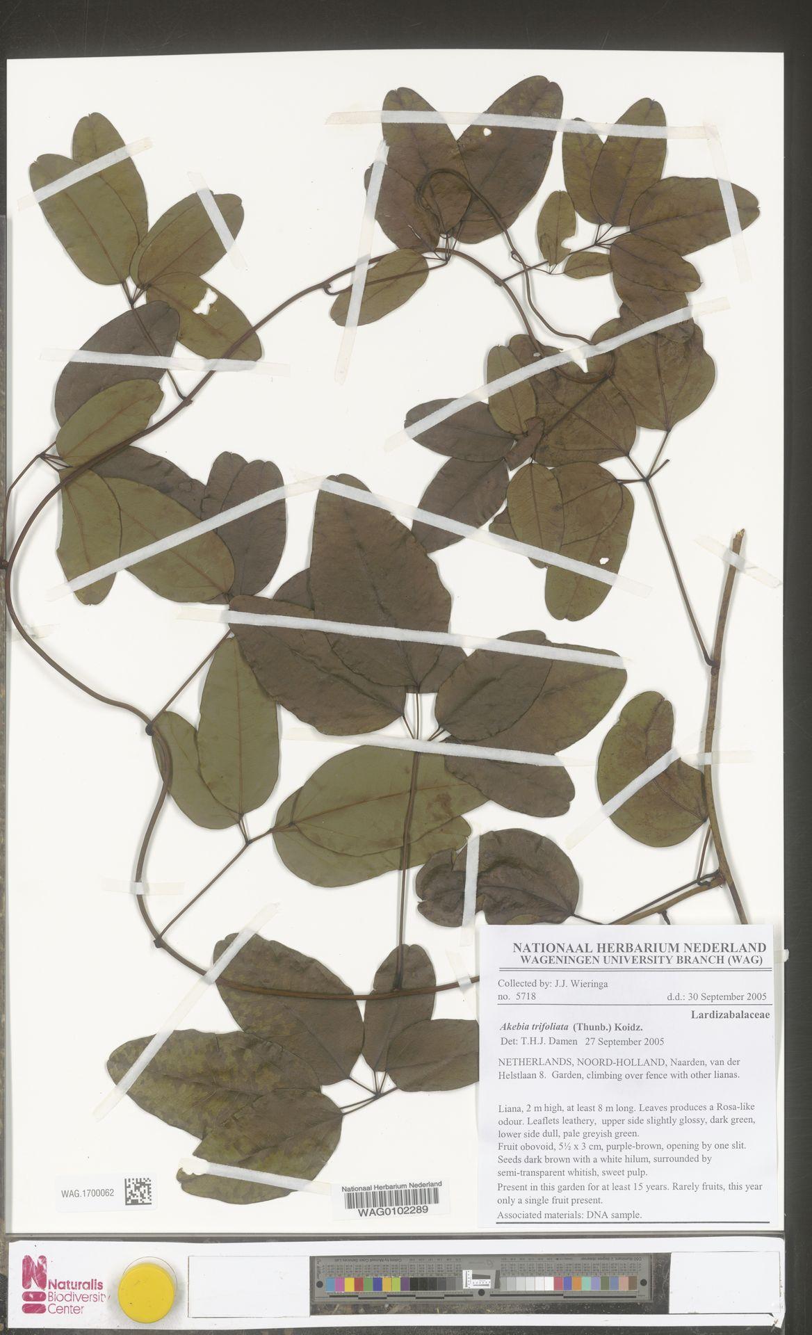 WAG.1700062 | Akebia trifoliata (Thunb.) Koidz.