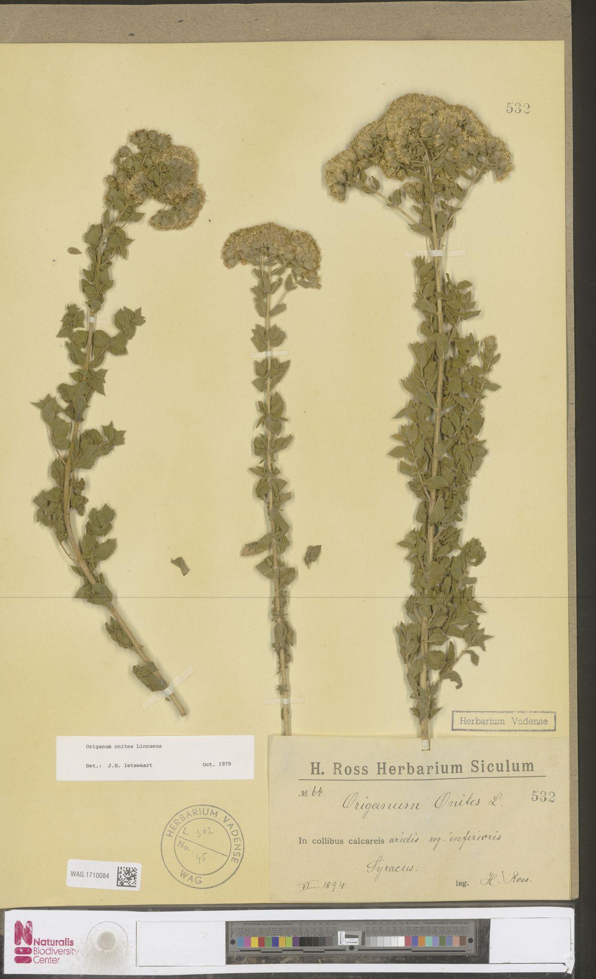 WAG.1710084 | Origanum onites L.