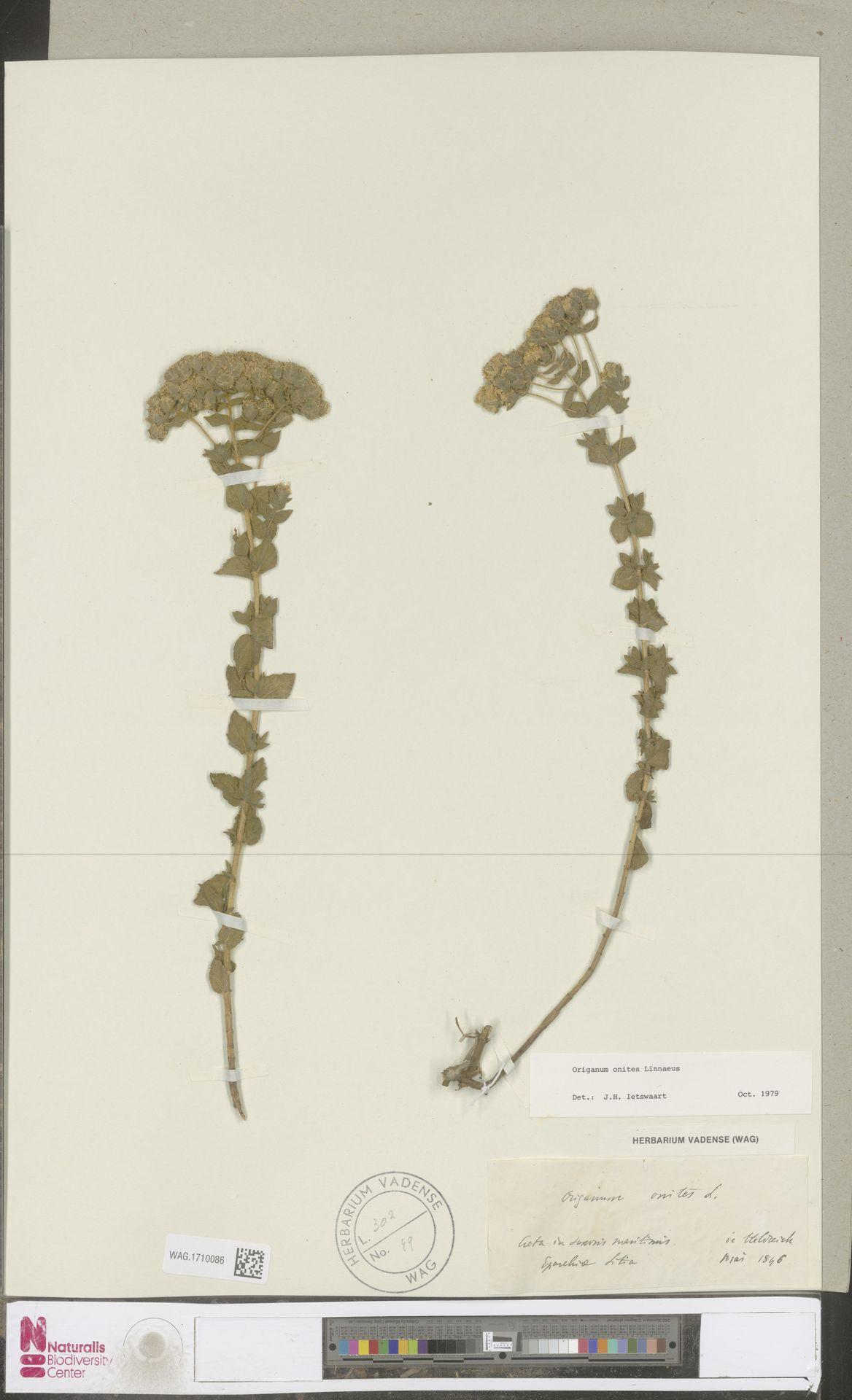 WAG.1710086 | Origanum onites L.