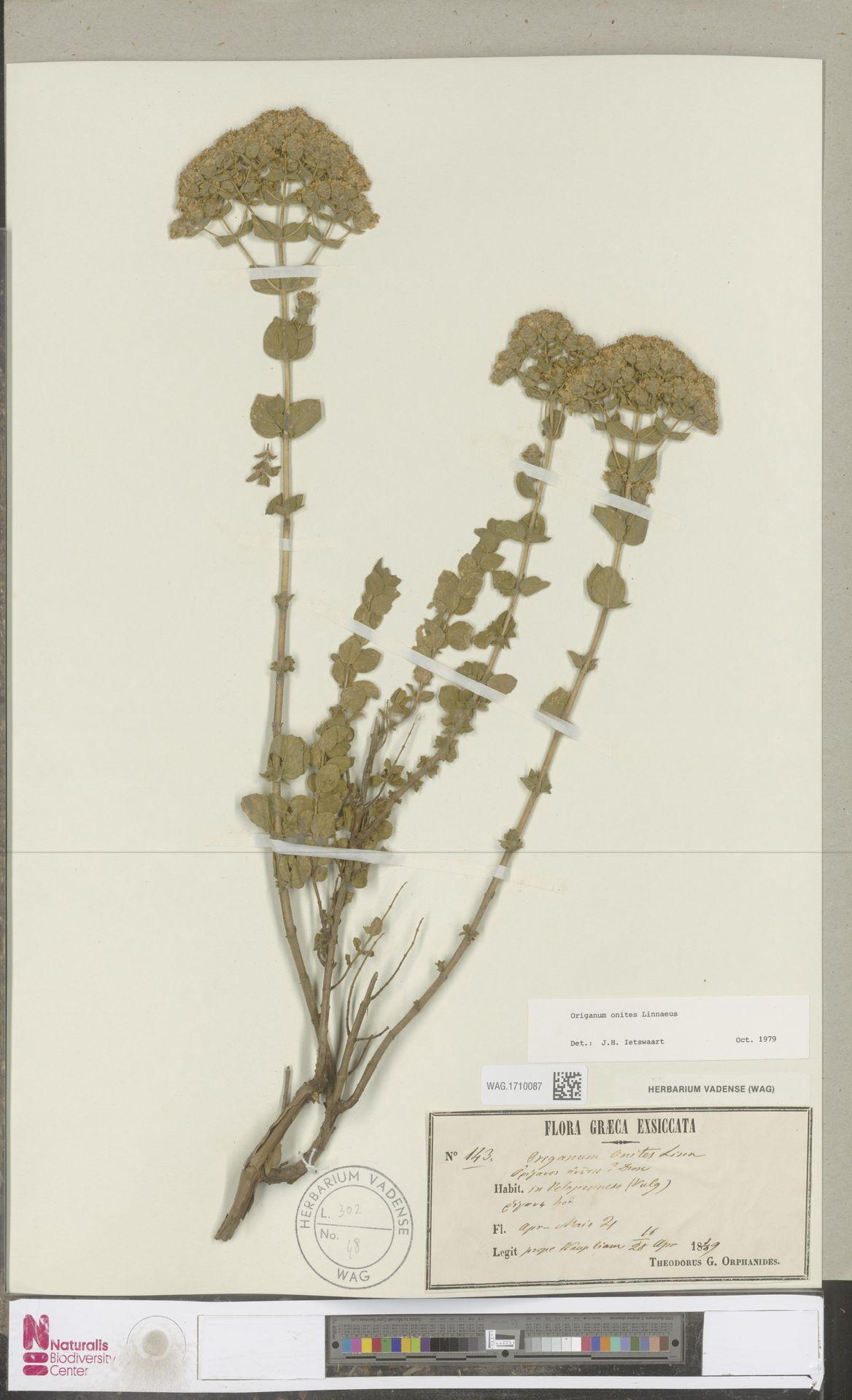 WAG.1710087 | Origanum onites L.