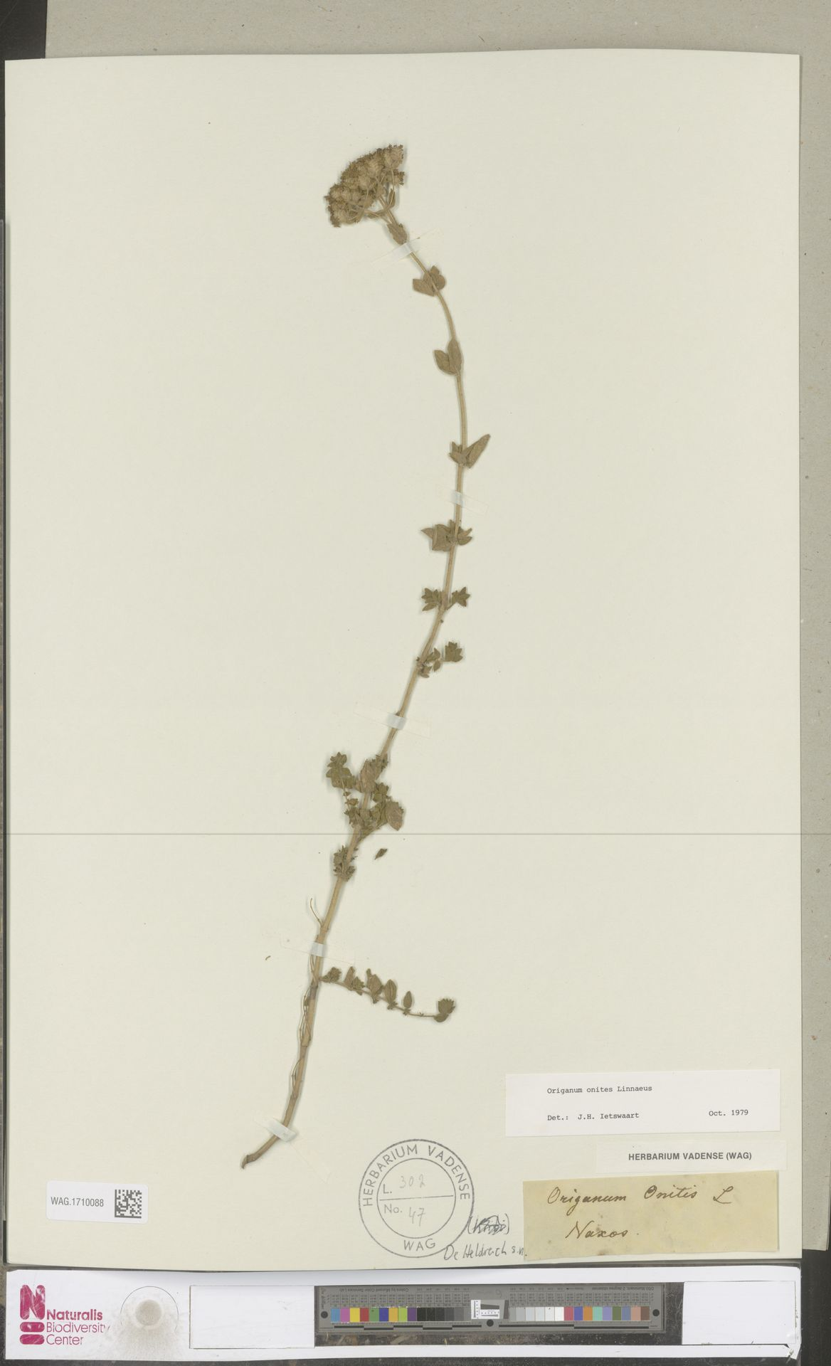 WAG.1710088 | Origanum onites L.