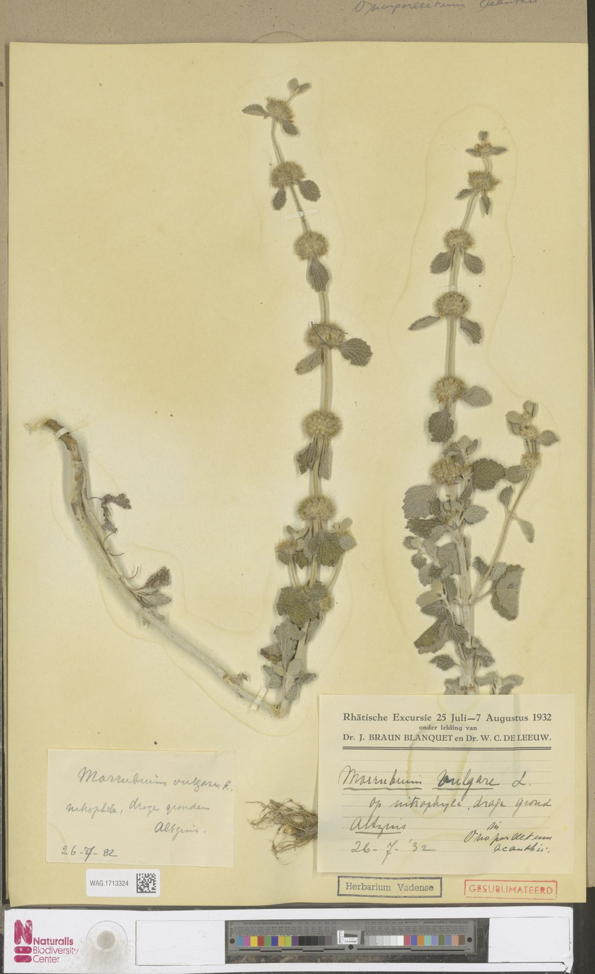 WAG.1713324   Marrubium vulgare L.