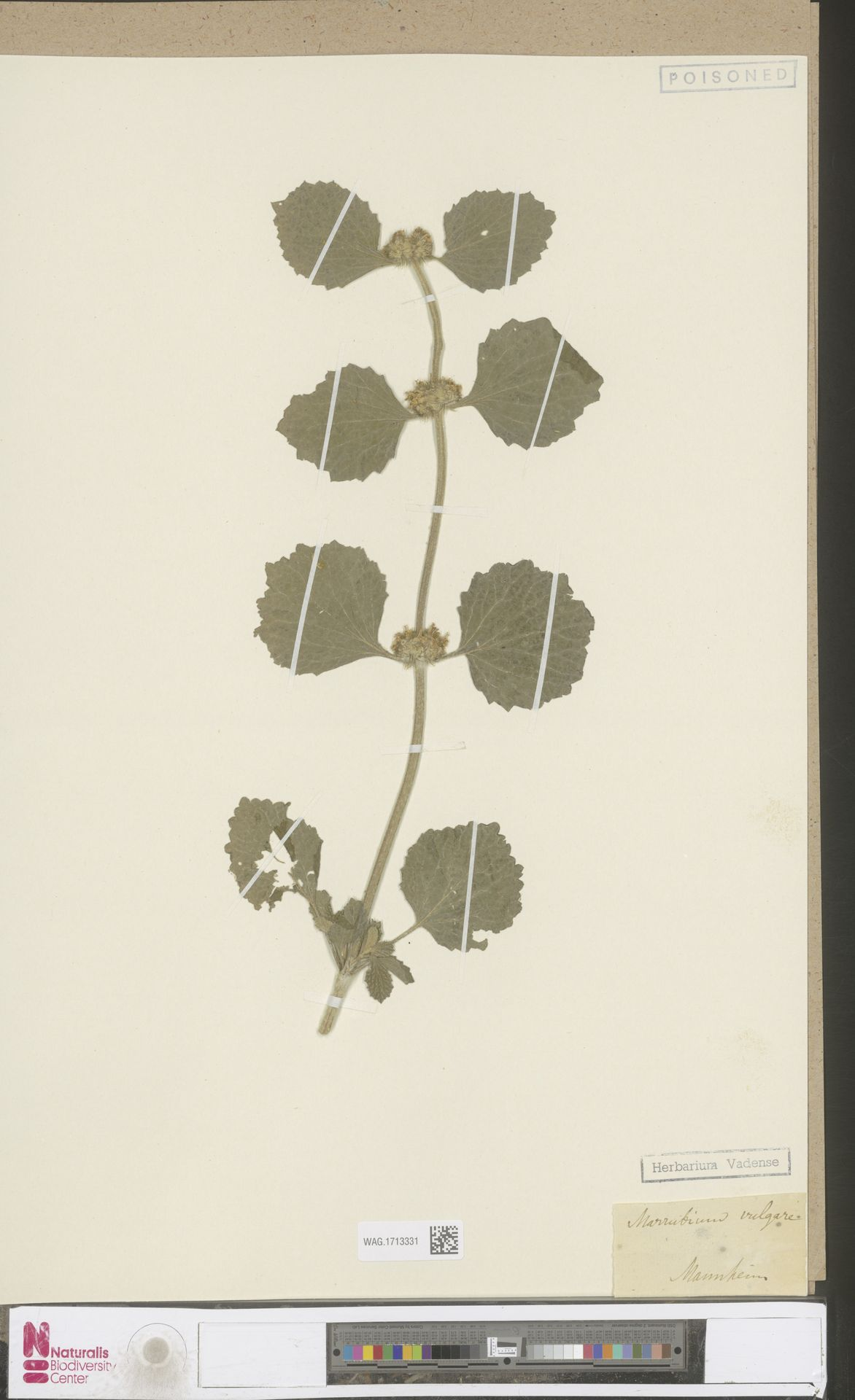 WAG.1713331 | Marrubium vulgare L.