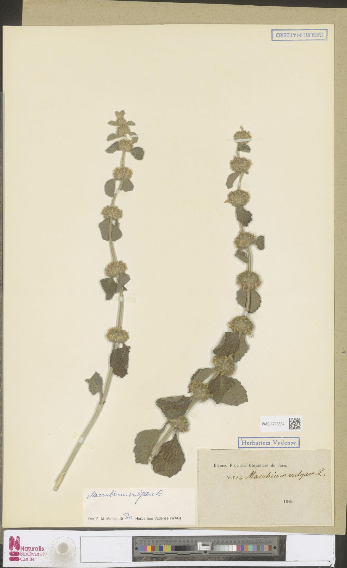 WAG.1713334 | Marrubium vulgare L.