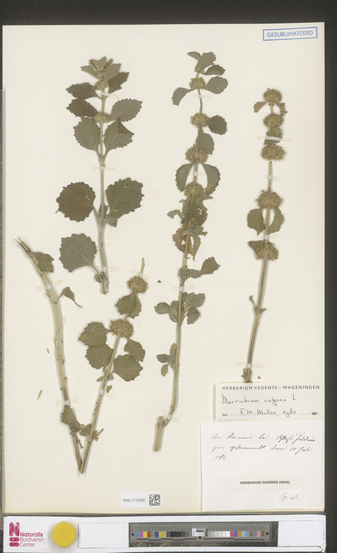WAG.1713336 | Marrubium vulgare L.