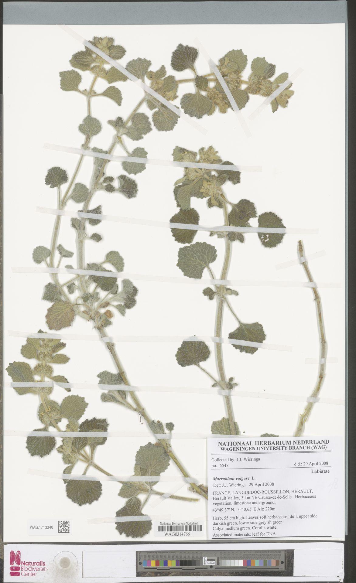WAG.1713340 | Marrubium vulgare L.