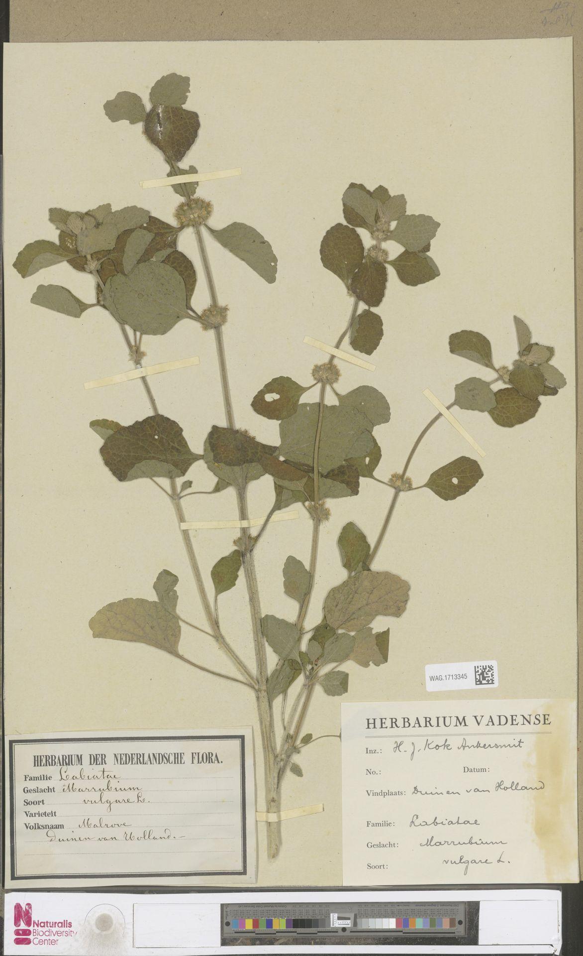 WAG.1713345 | Marrubium vulgare L.