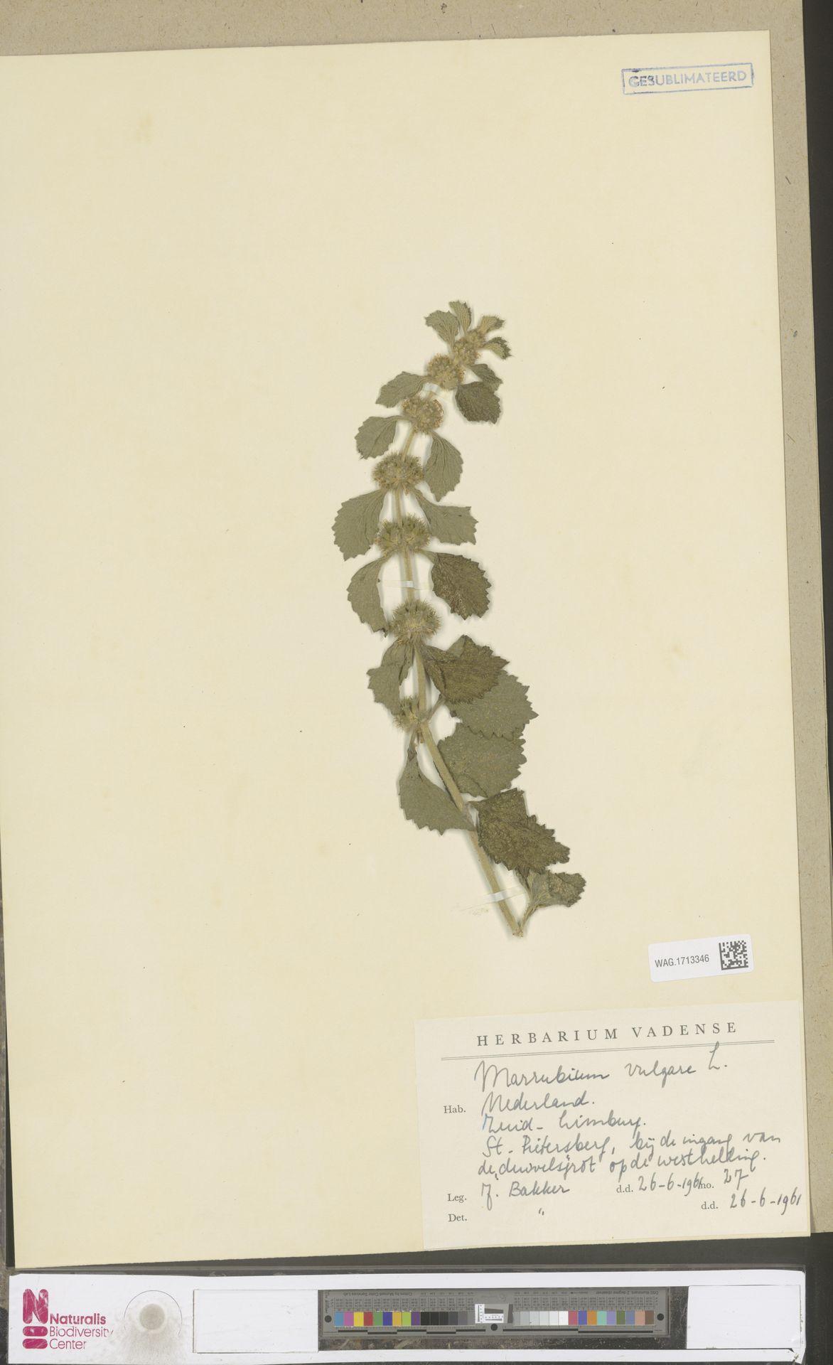 WAG.1713346 | Marrubium vulgare L.
