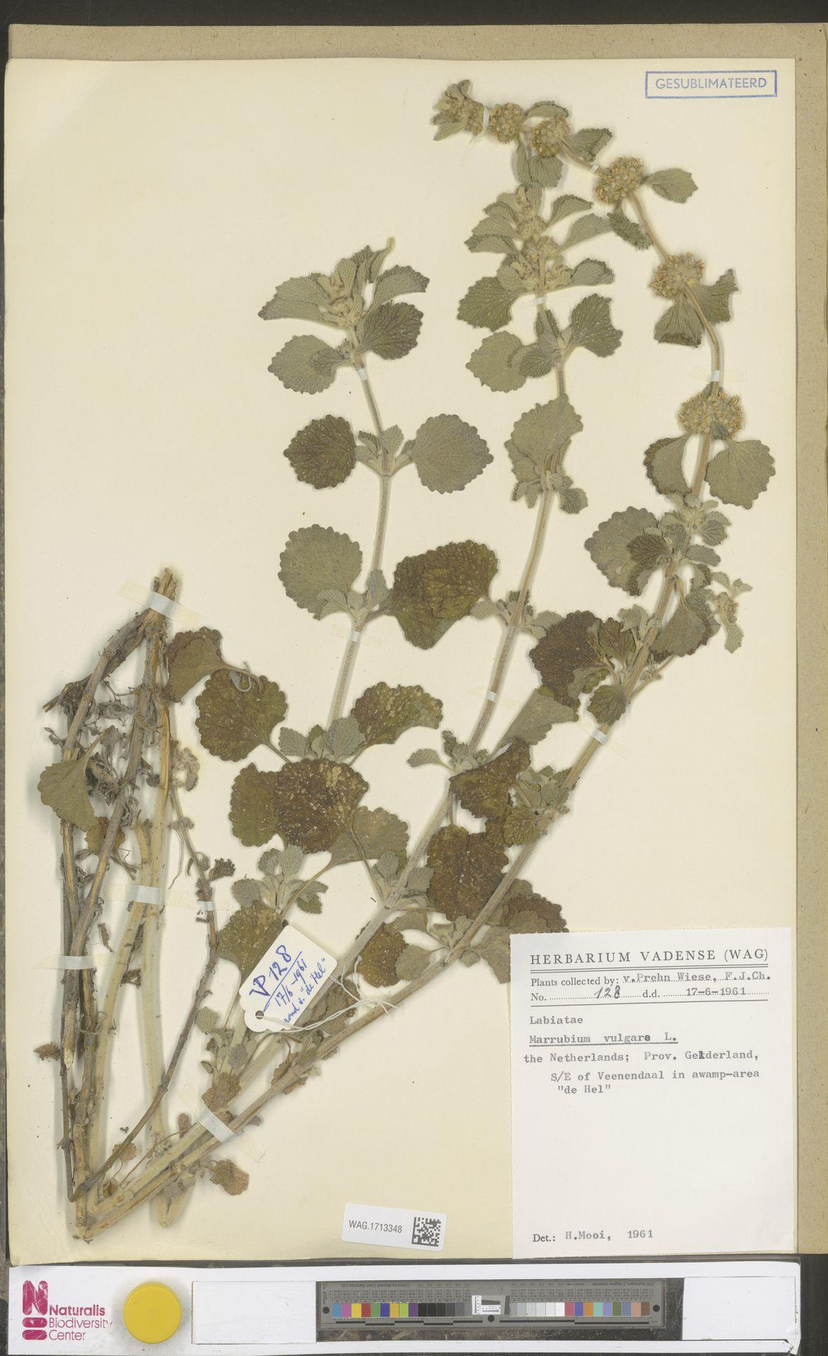 WAG.1713348 | Marrubium vulgare L.