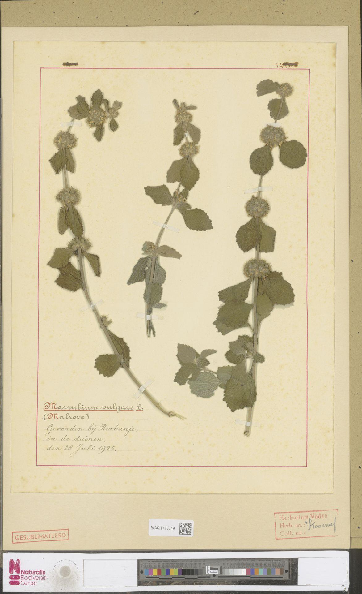 WAG.1713349 | Marrubium vulgare L.