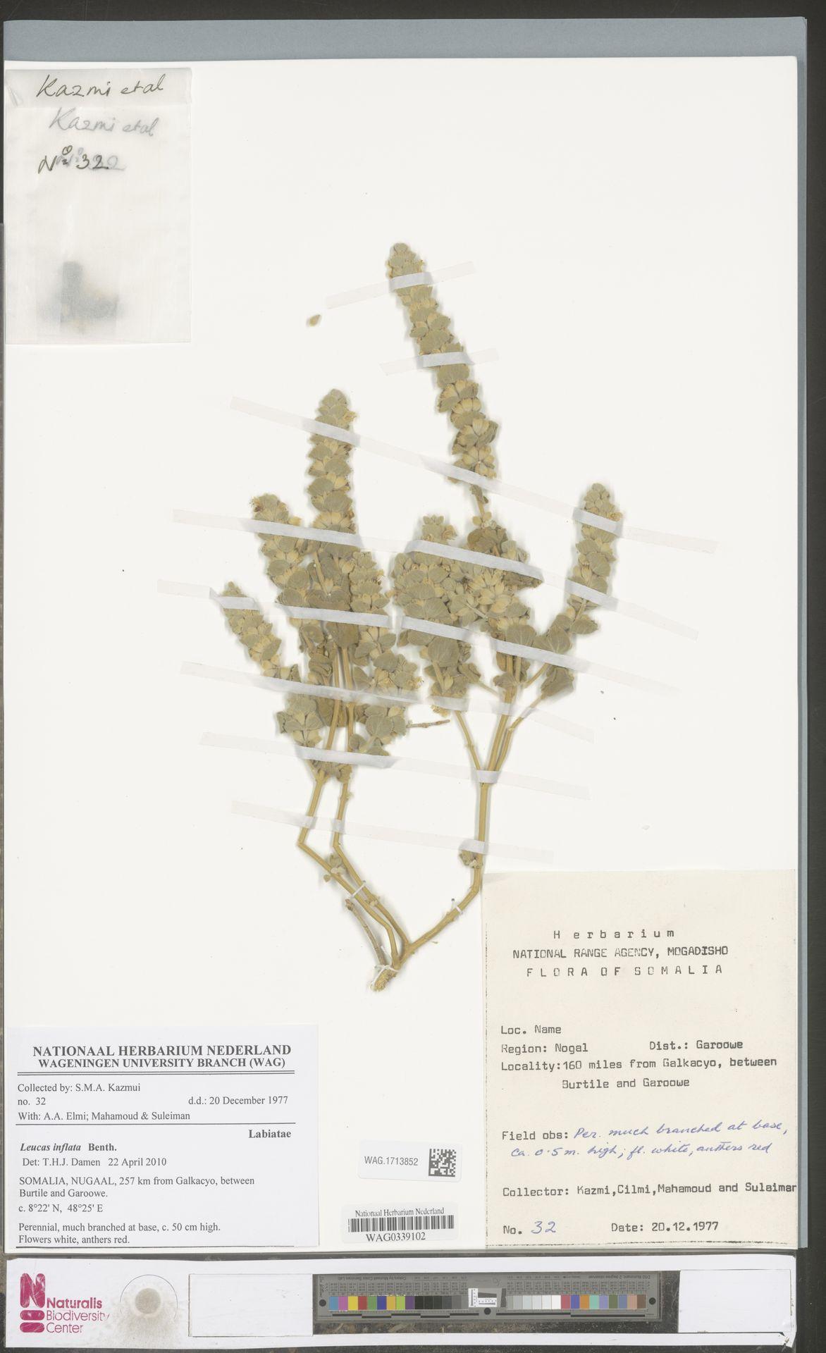 WAG.1713852 | Leucas inflata Benth.