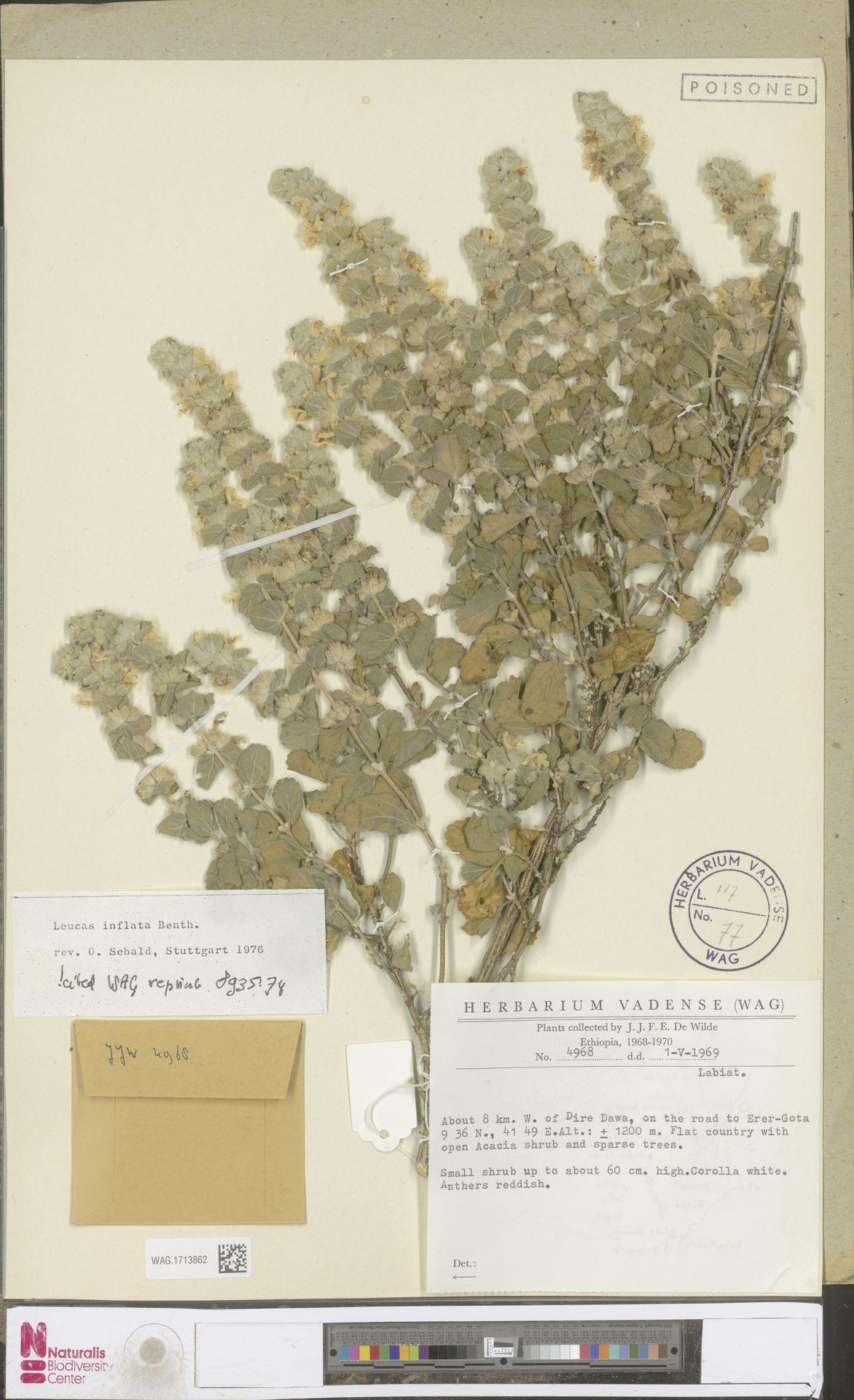WAG.1713862   Leucas inflata Benth.