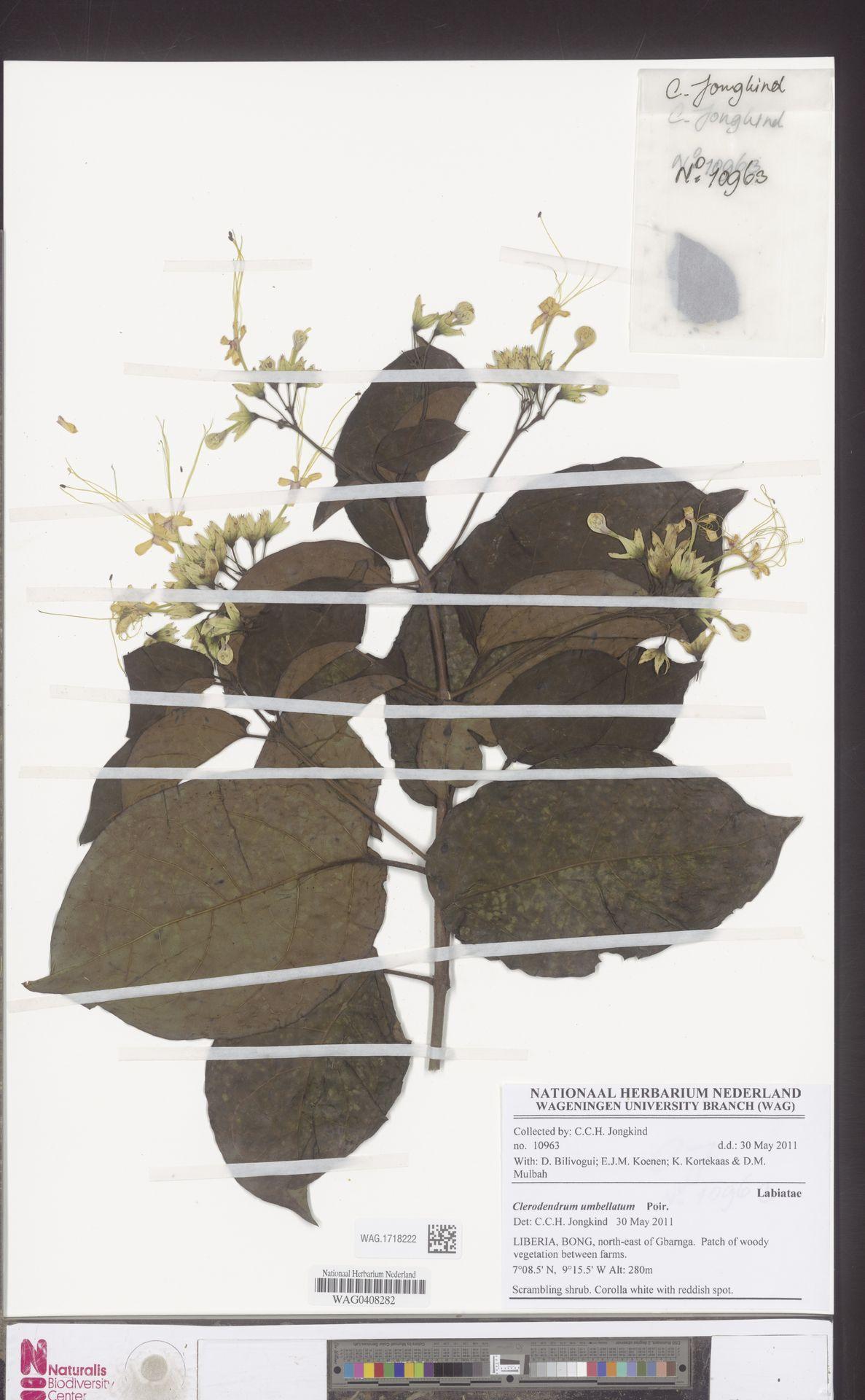 WAG.1718222 | Clerodendrum umbellatum Poir.