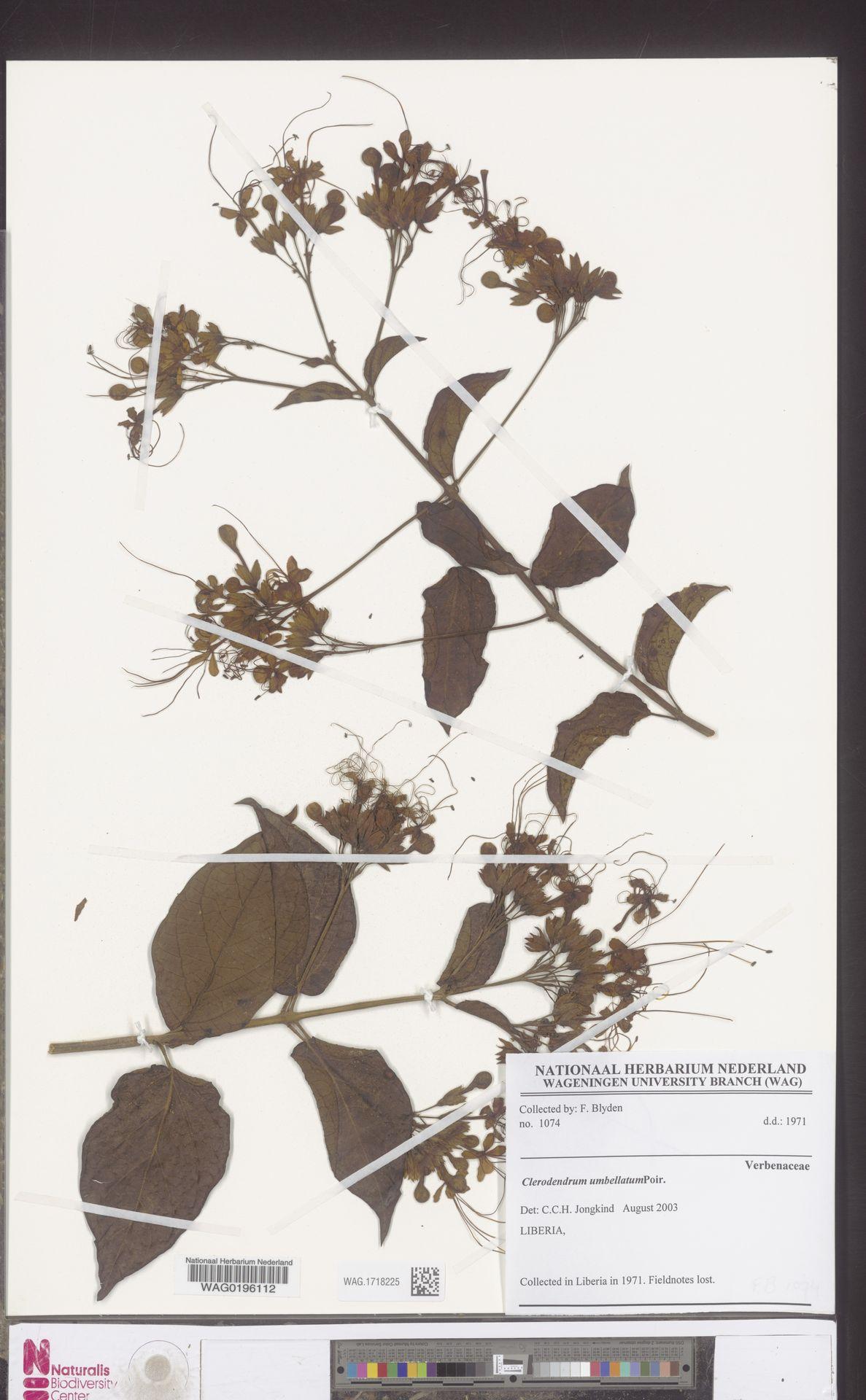 WAG.1718225 | Clerodendrum umbellatum Poir.