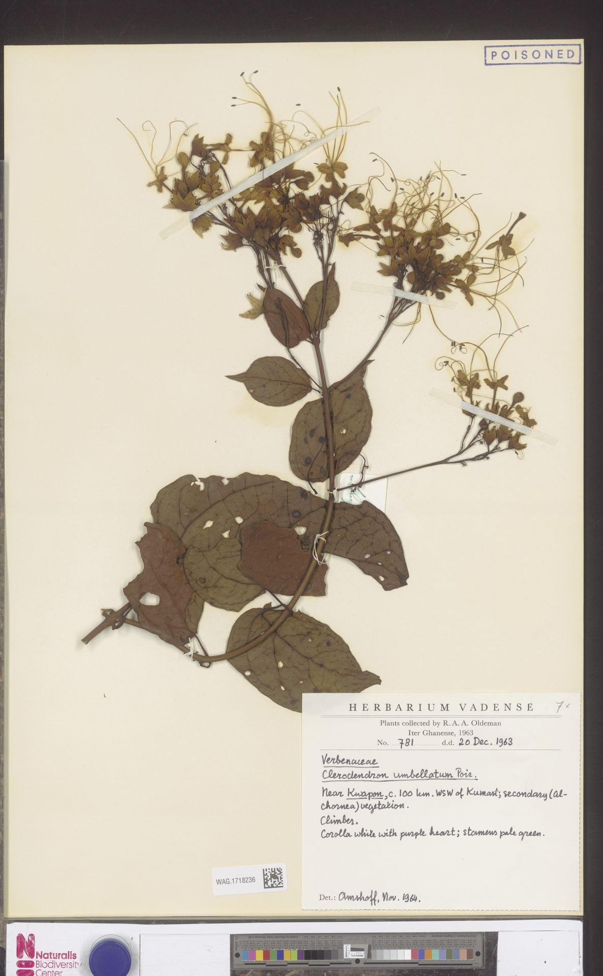 WAG.1718236 | Clerodendrum umbellatum Poir.
