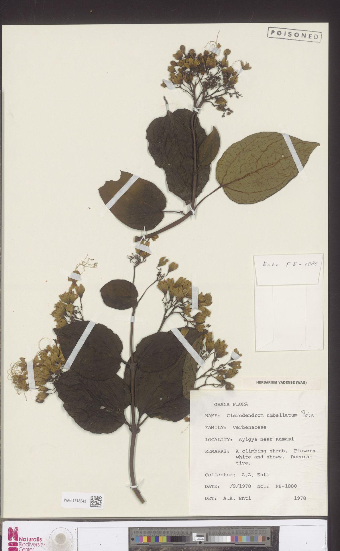 WAG.1718243 | Clerodendrum umbellatum Poir.