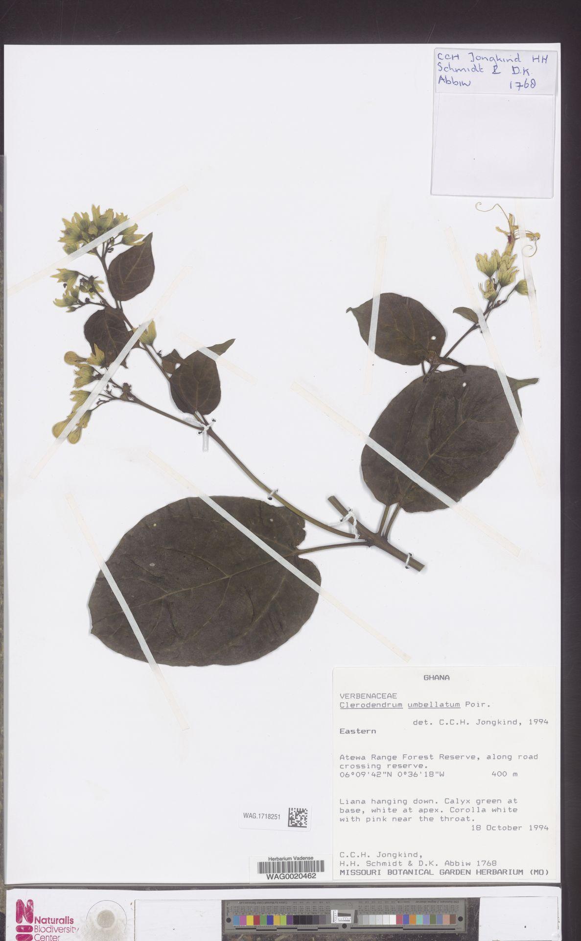 WAG.1718251   Clerodendrum umbellatum Poir.
