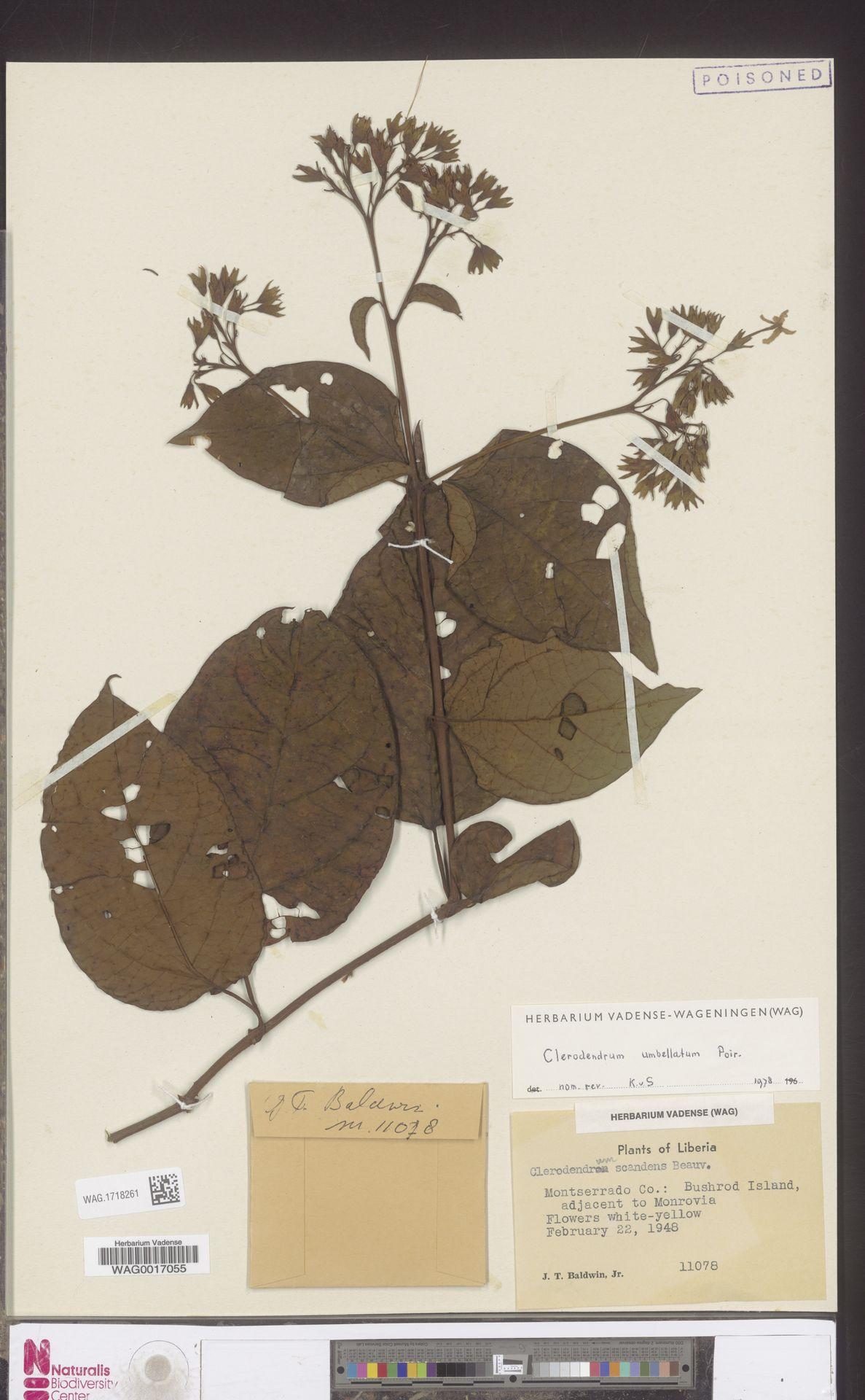 WAG.1718261 | Clerodendrum umbellatum Poir.