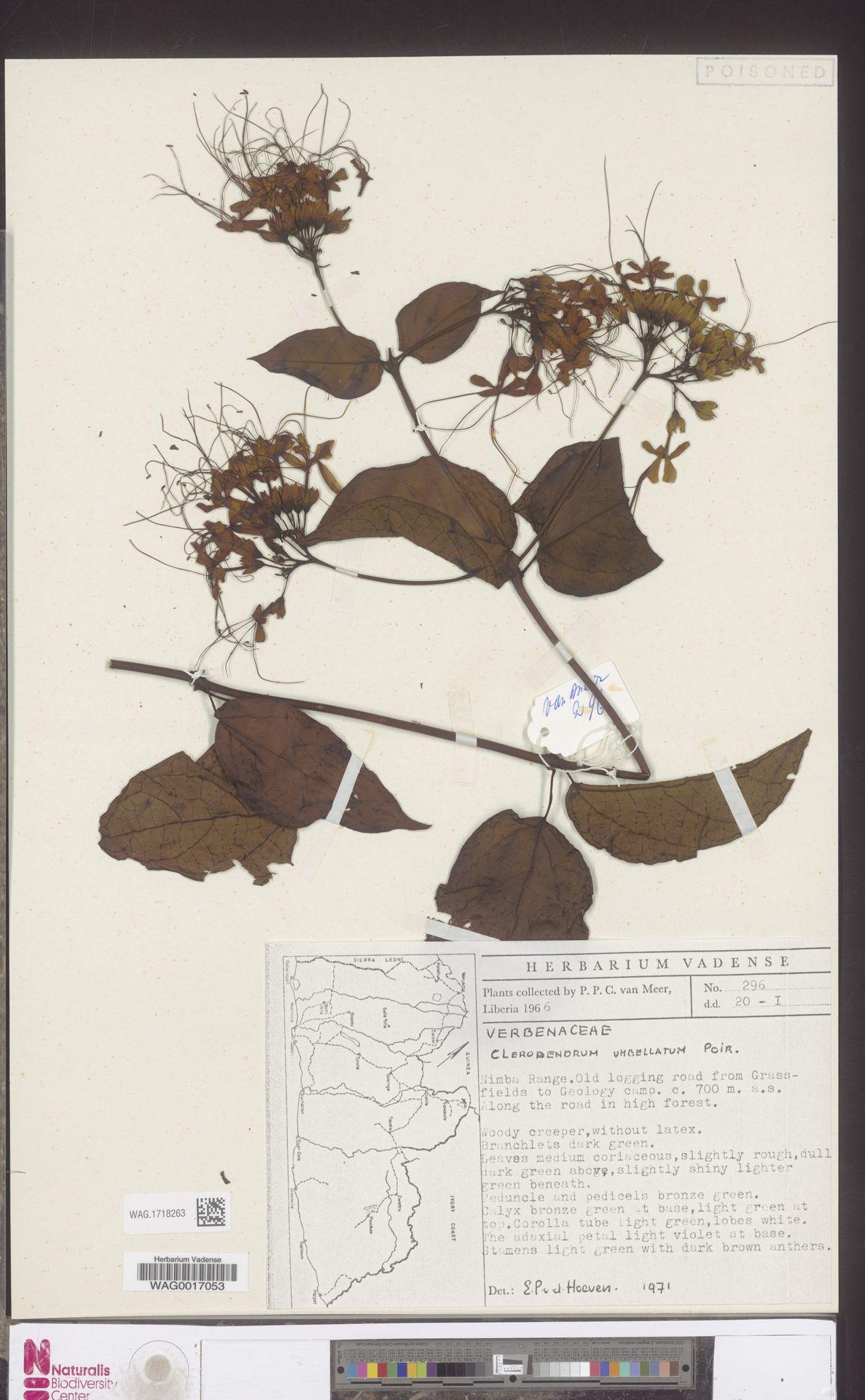 WAG.1718263 | Clerodendrum umbellatum Poir.
