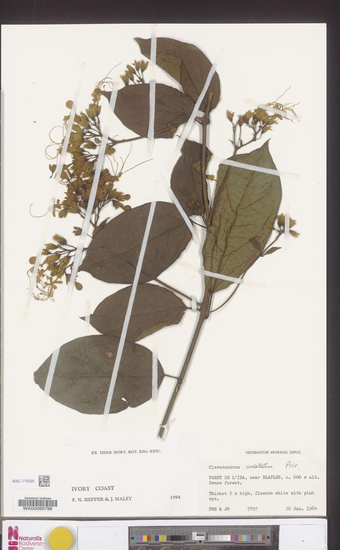 WAG.1718295 | Clerodendrum umbellatum Poir.