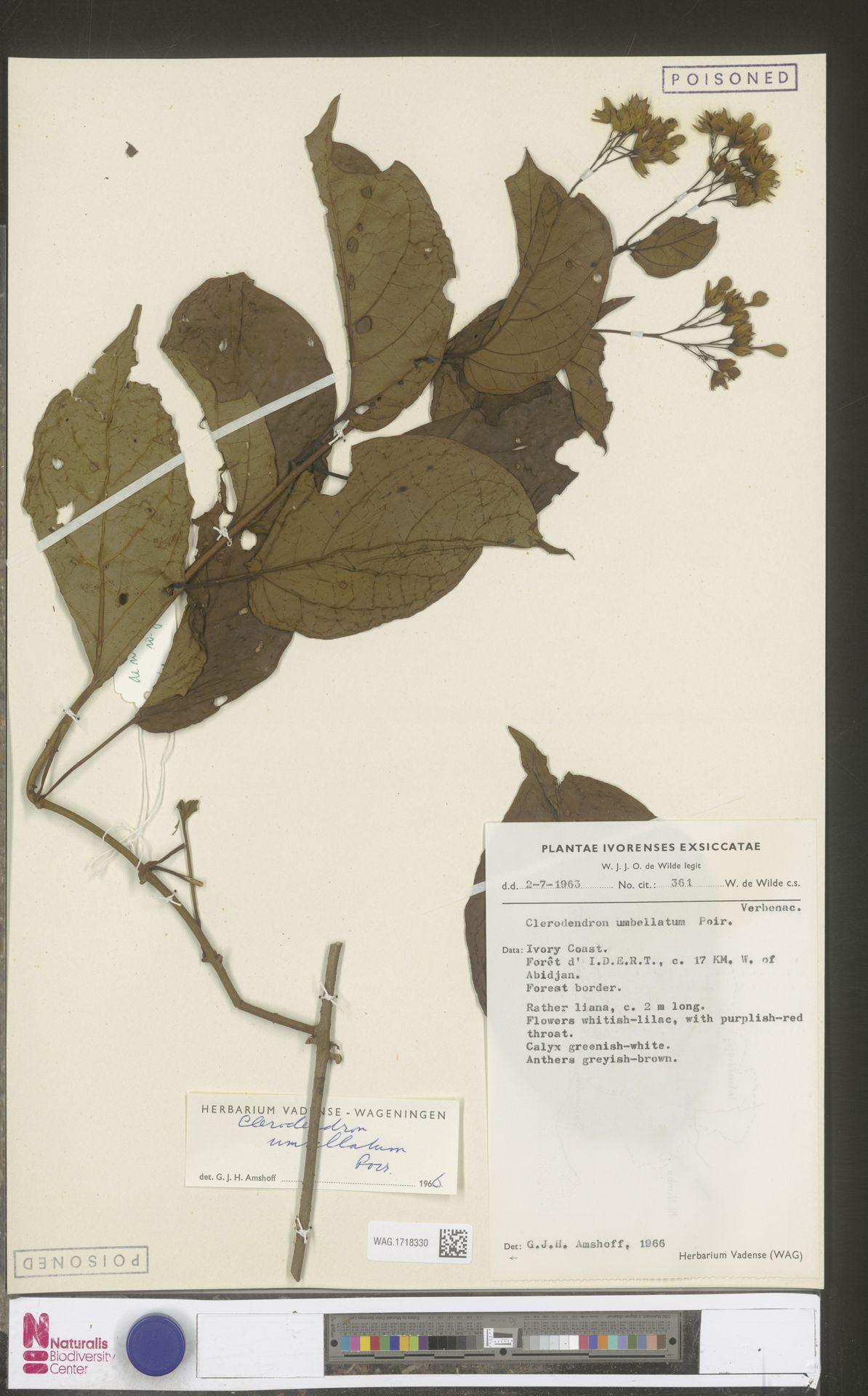 WAG.1718330 | Clerodendrum umbellatum Poir.