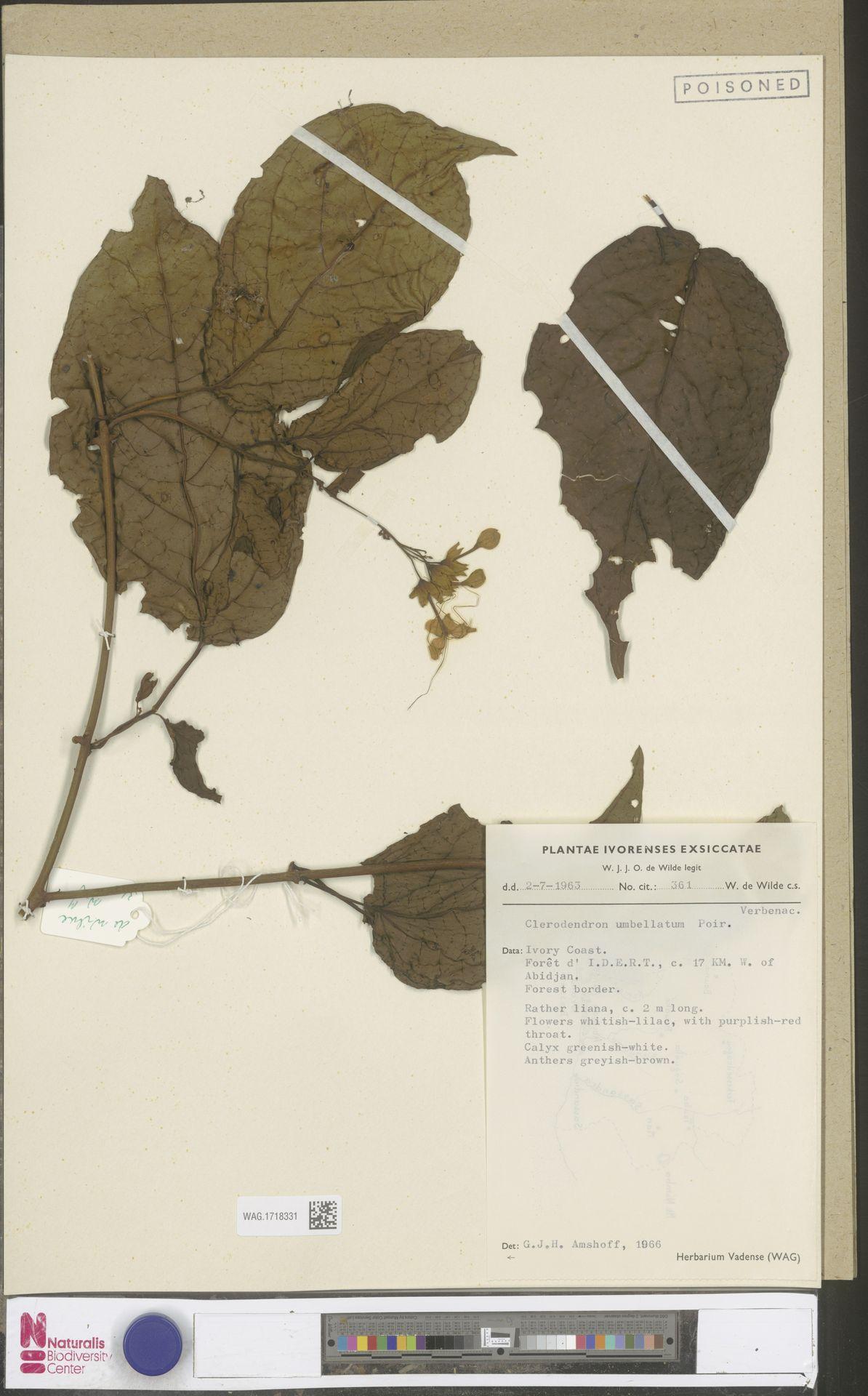 WAG.1718331 | Clerodendrum umbellatum Poir.