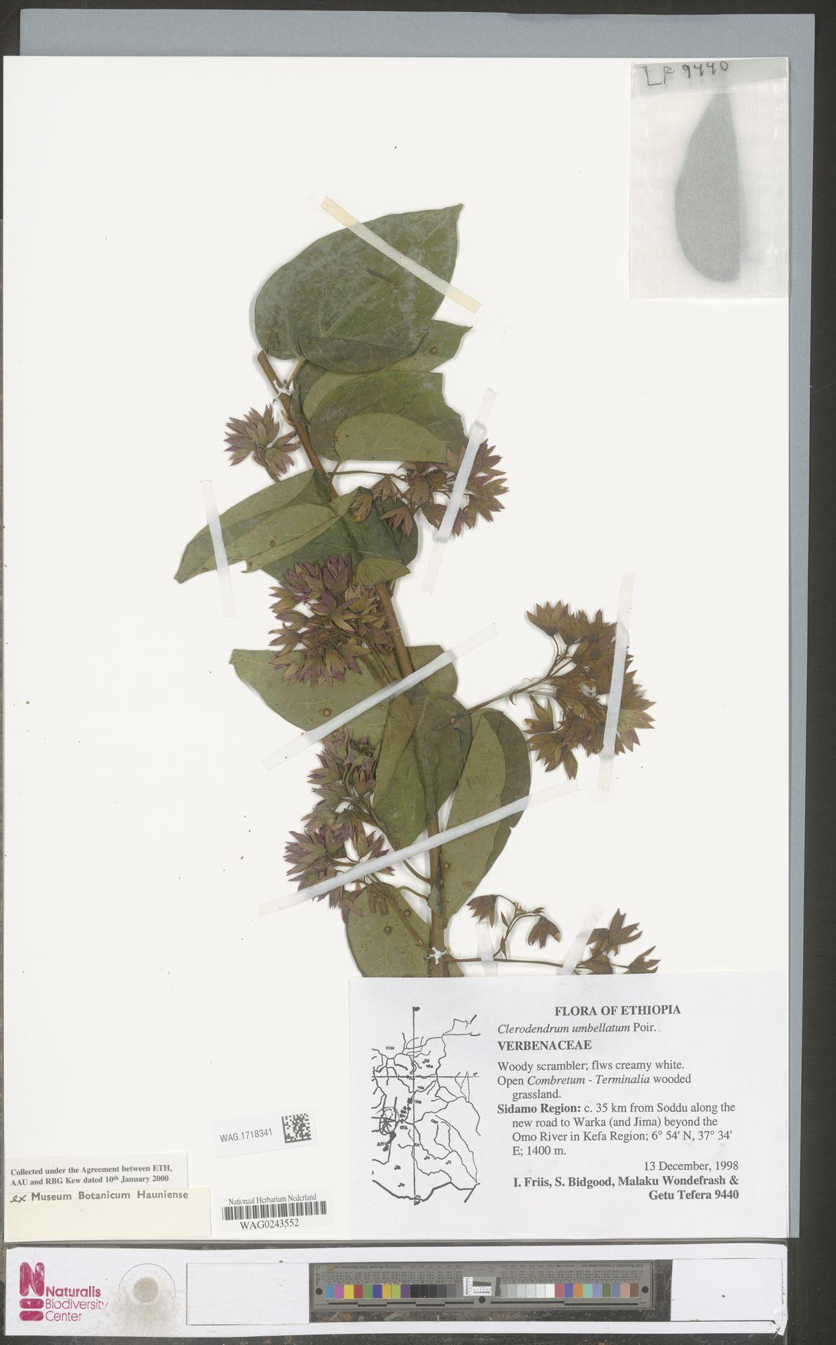 WAG.1718341 | Clerodendrum umbellatum Poir.