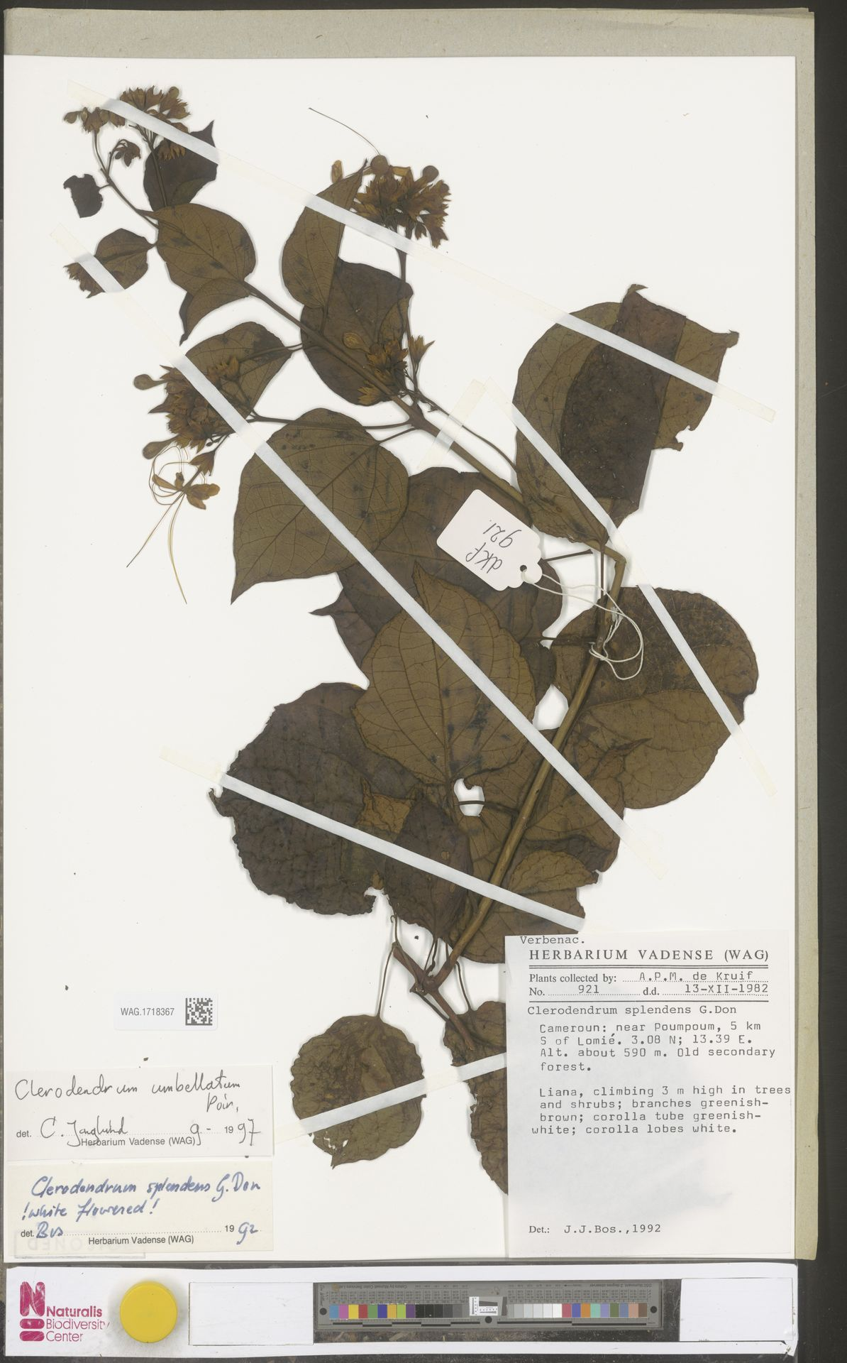 WAG.1718367 | Clerodendrum umbellatum Poir.