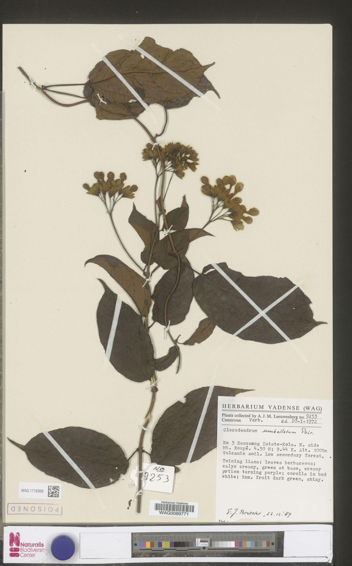 WAG.1718368 | Clerodendrum umbellatum Poir.