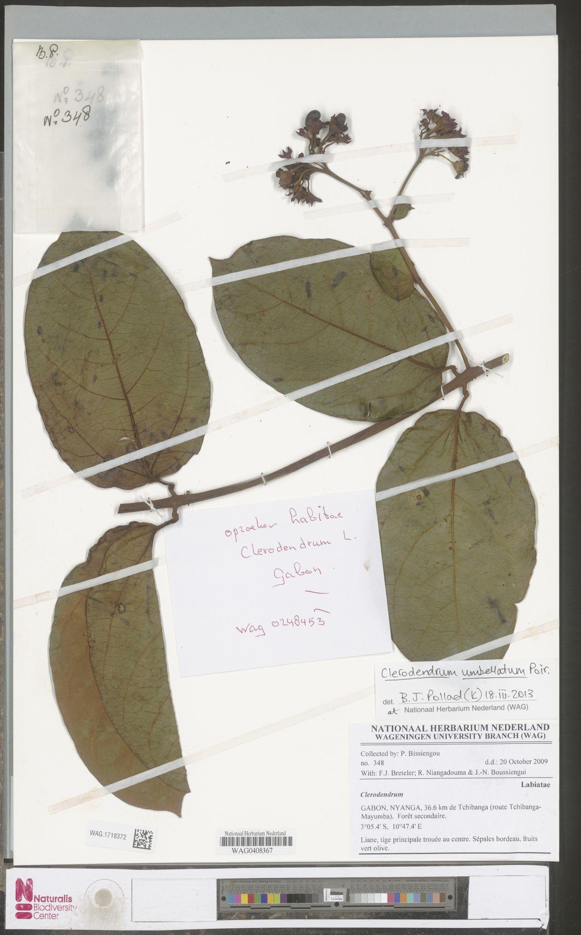 WAG.1718372 | Clerodendrum umbellatum Poir.
