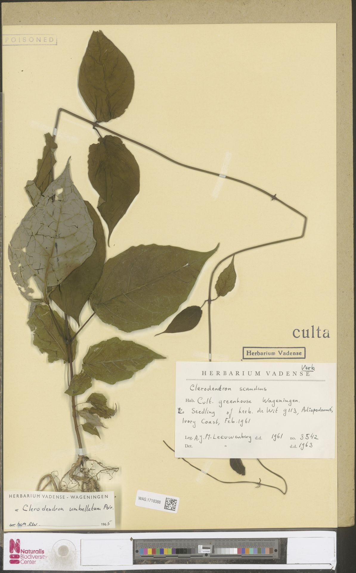 WAG.1718388 | Clerodendrum umbellatum Poir.