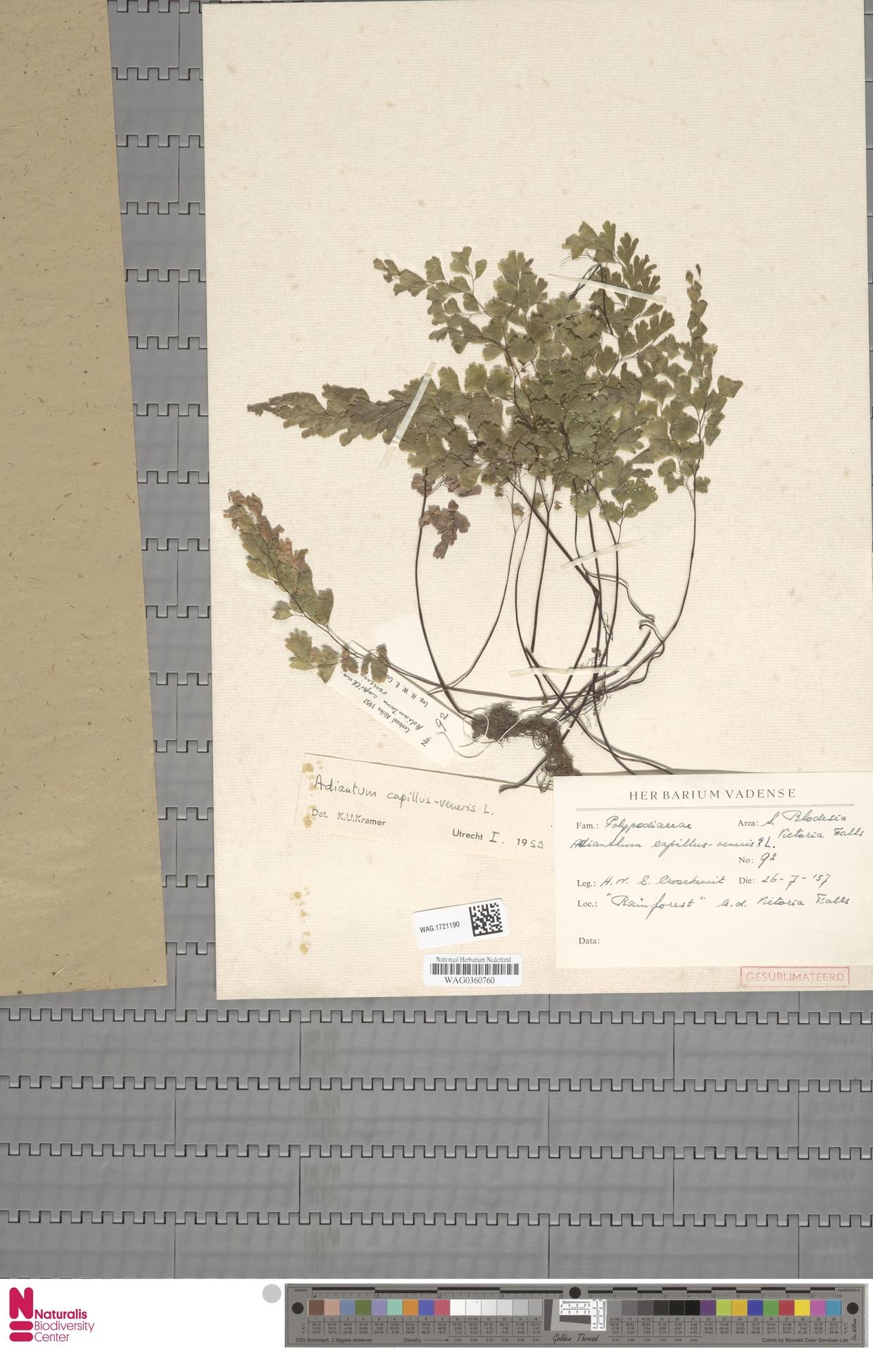 WAG.1721190 | Adiantum capillus-veneris L.