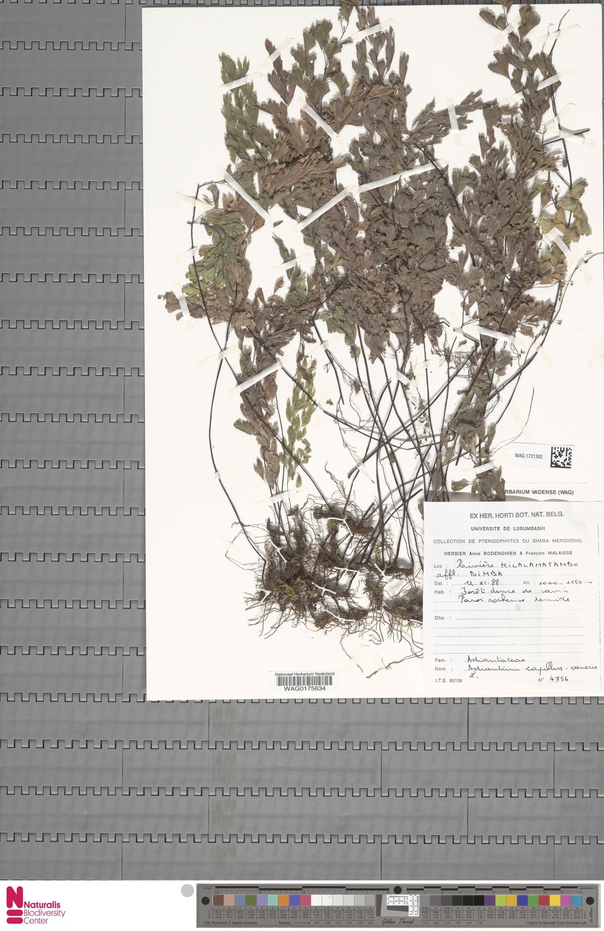 WAG.1721302 | Adiantum capillus-veneris L.