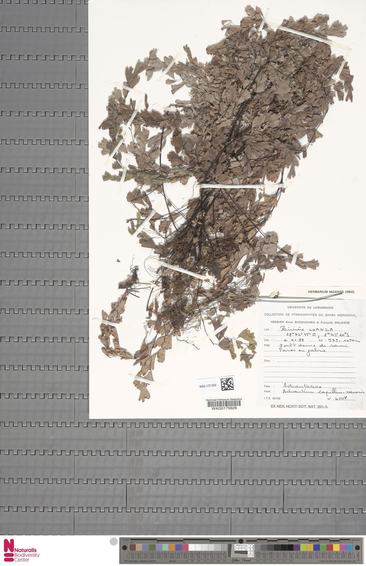 WAG.1721303 | Adiantum capillus-veneris L.